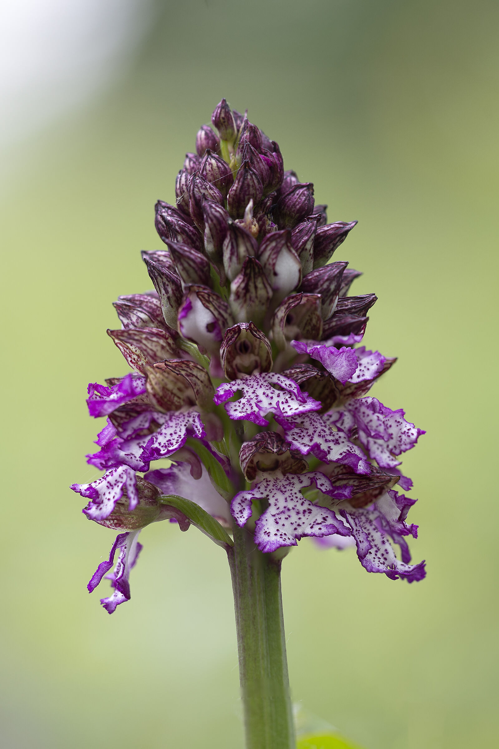Purple Orchis...