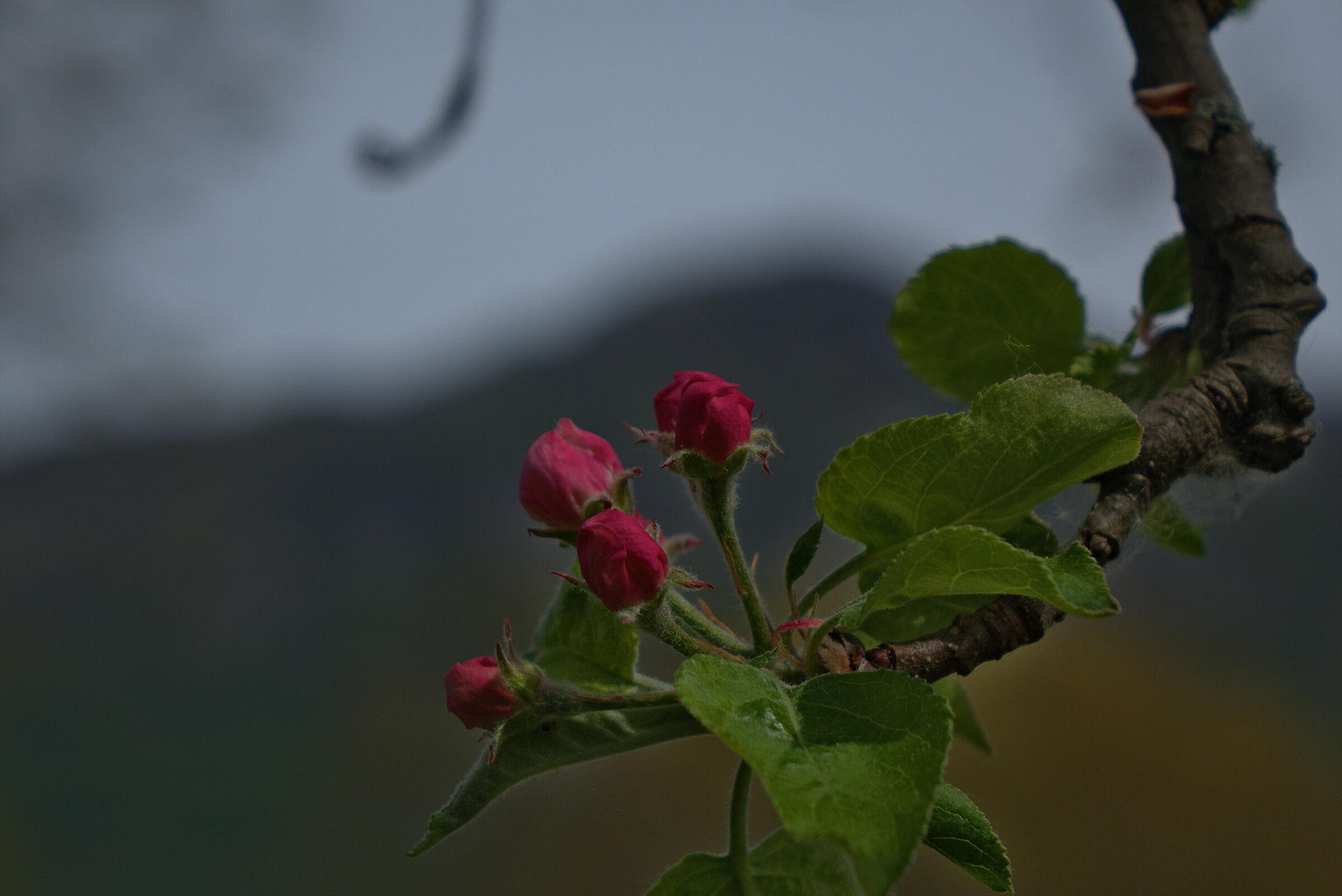 Melo blossoms...