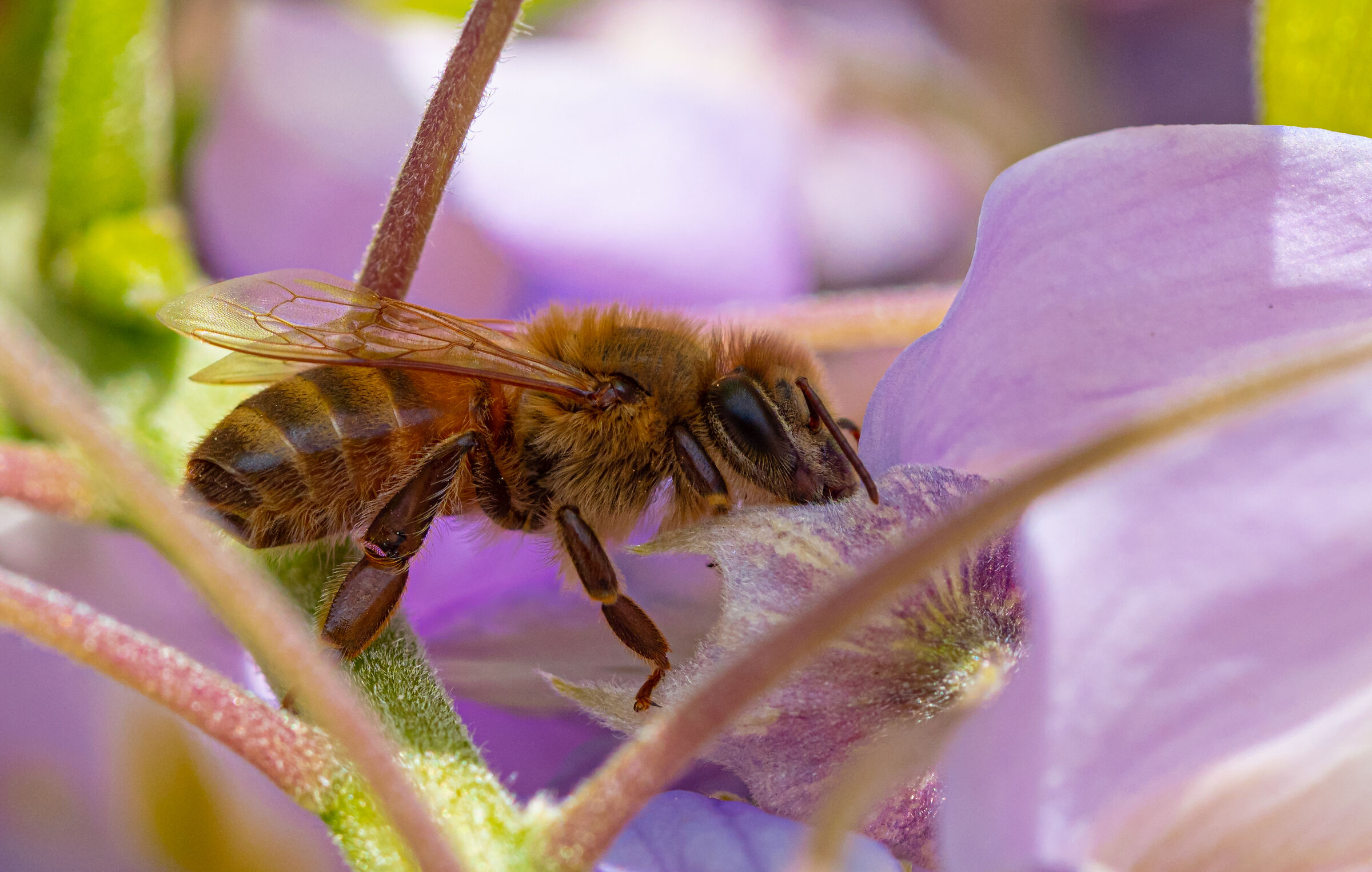 bee on wisteria...