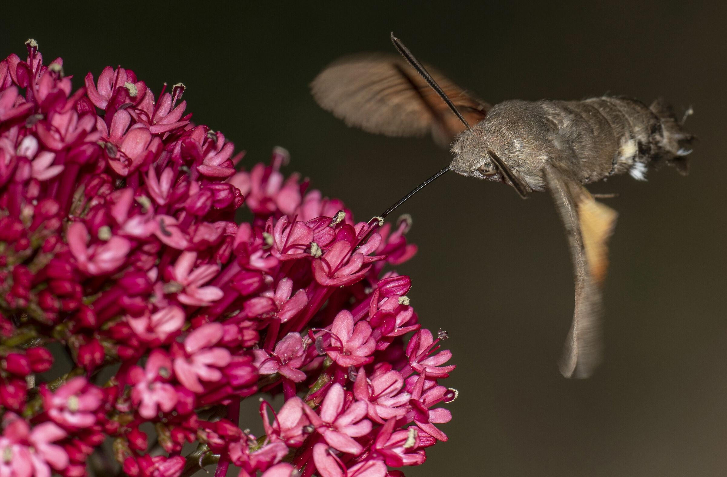 hummingbird sphinx - Macroglossum stellatarum ...