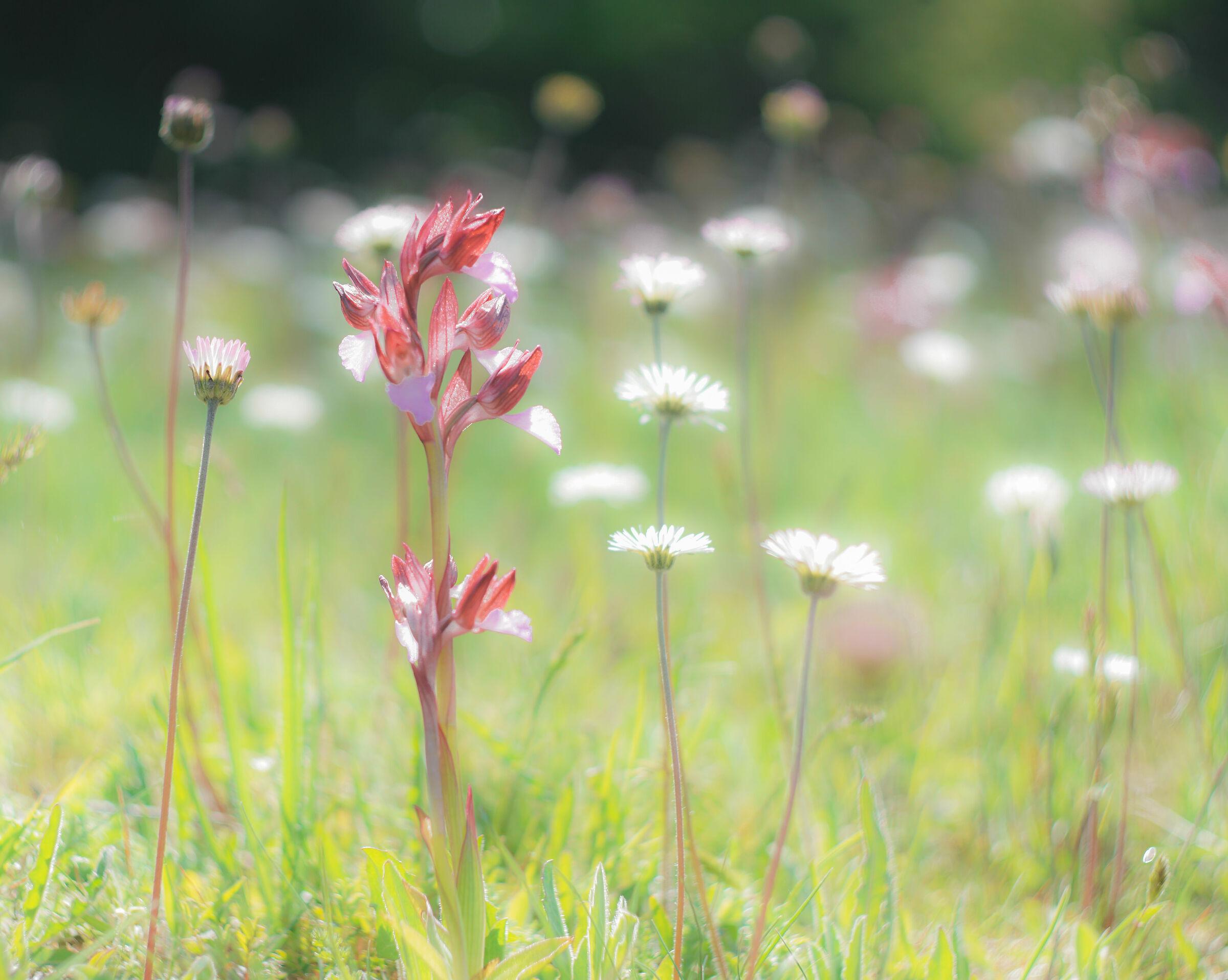 Orchidee spontanee...