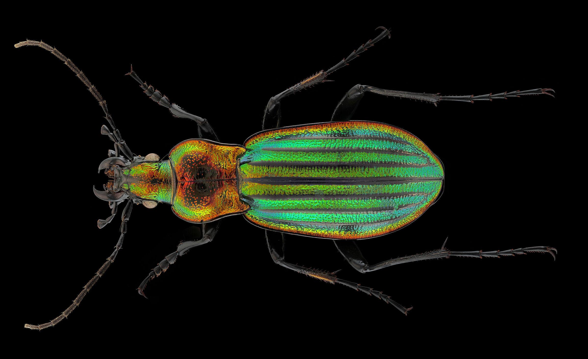 Chrysocarabus lineatus lateralis...