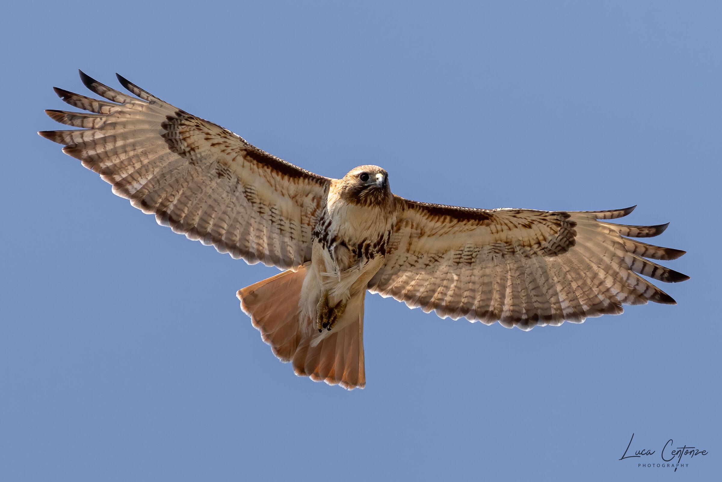 Red Tail Hawk (Buteo Jamaicensis) ...