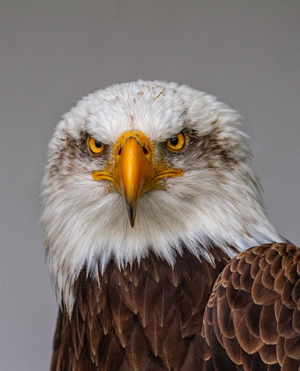 American Bald Eagle....