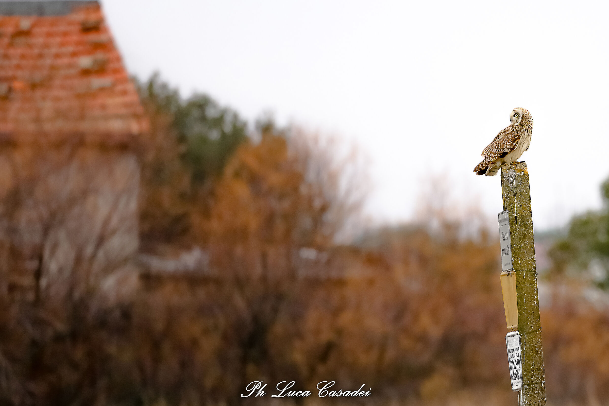 Marsh Owl...