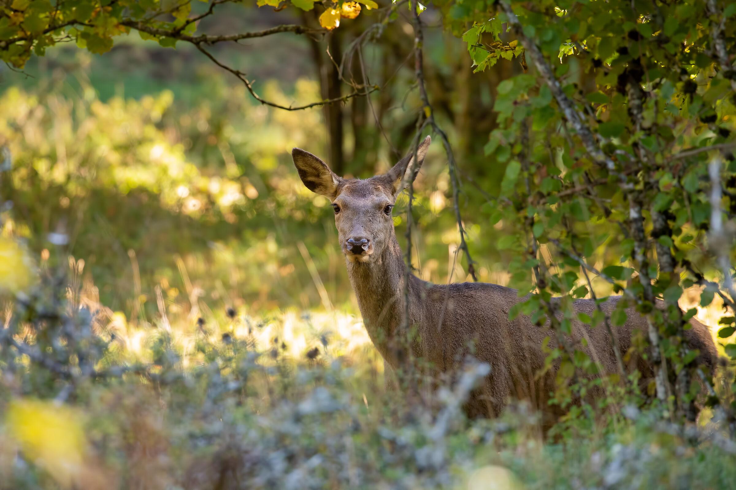 autumn deer...