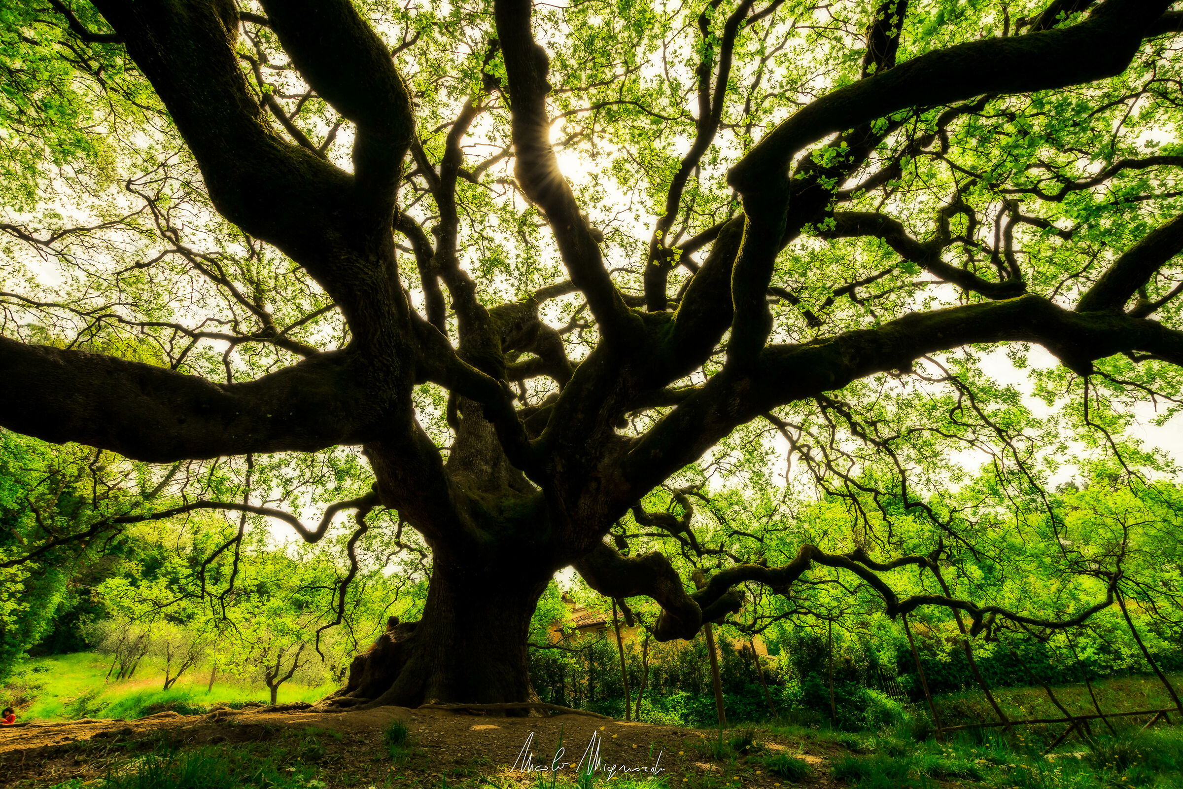 The Great Witches Oak...