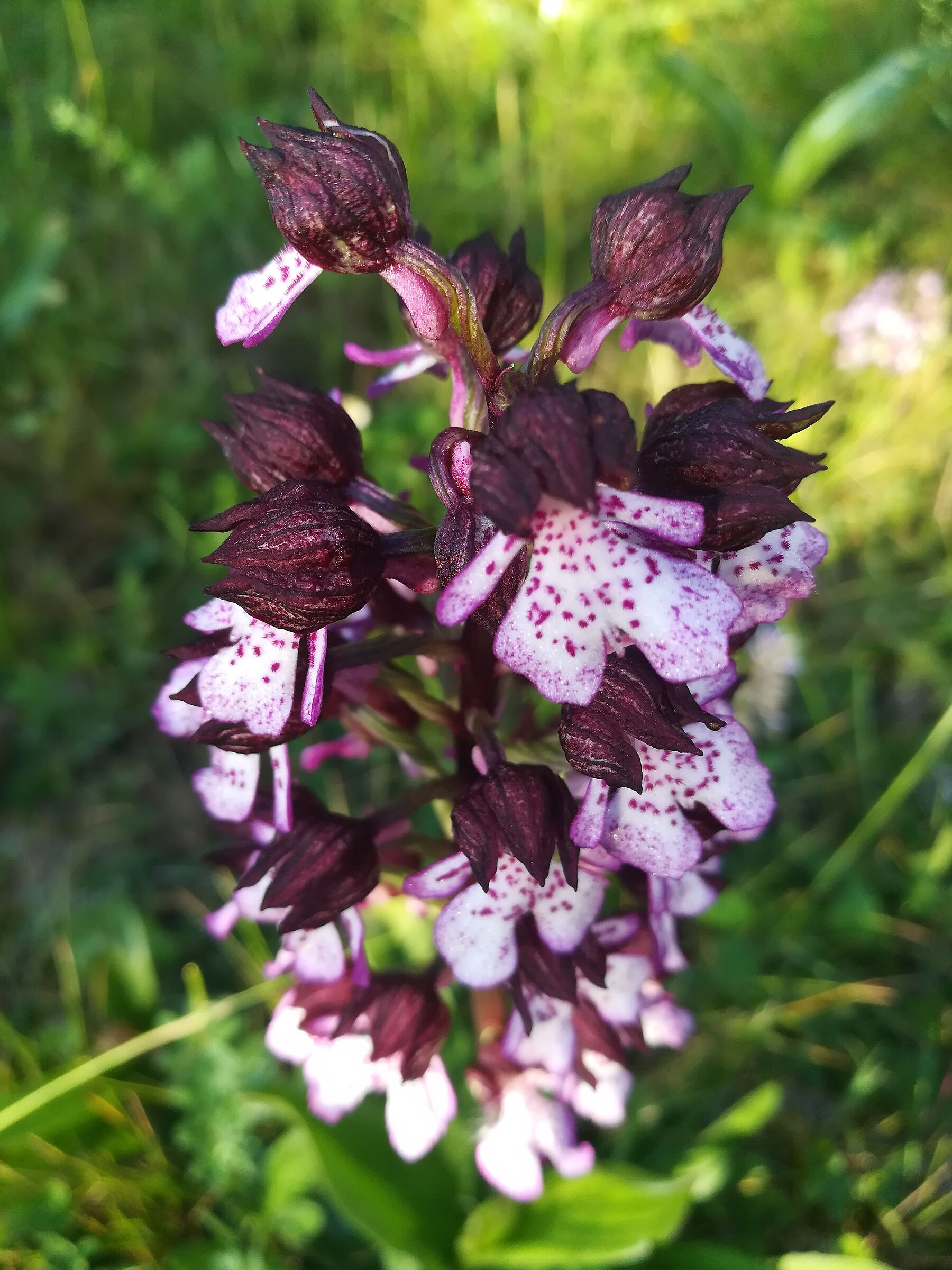 Wild orchid ...