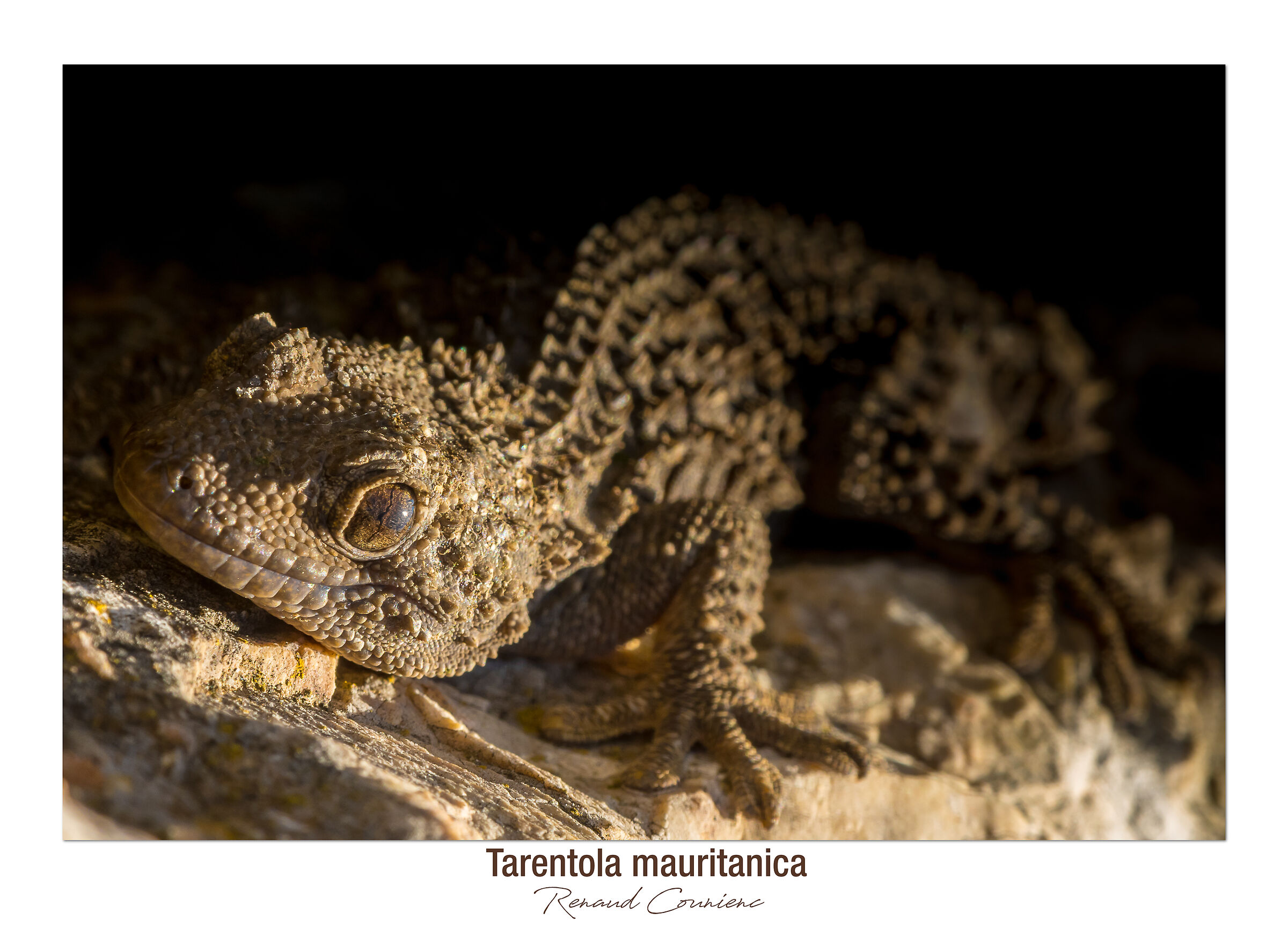 Tarentola mauritanica...
