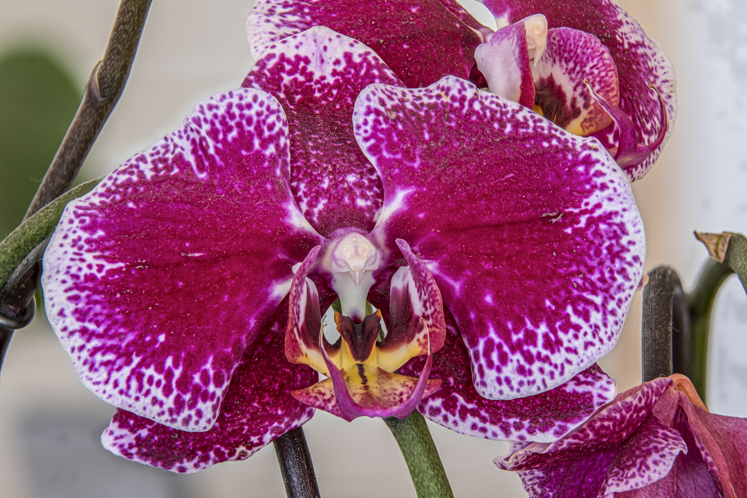 Orchid ...