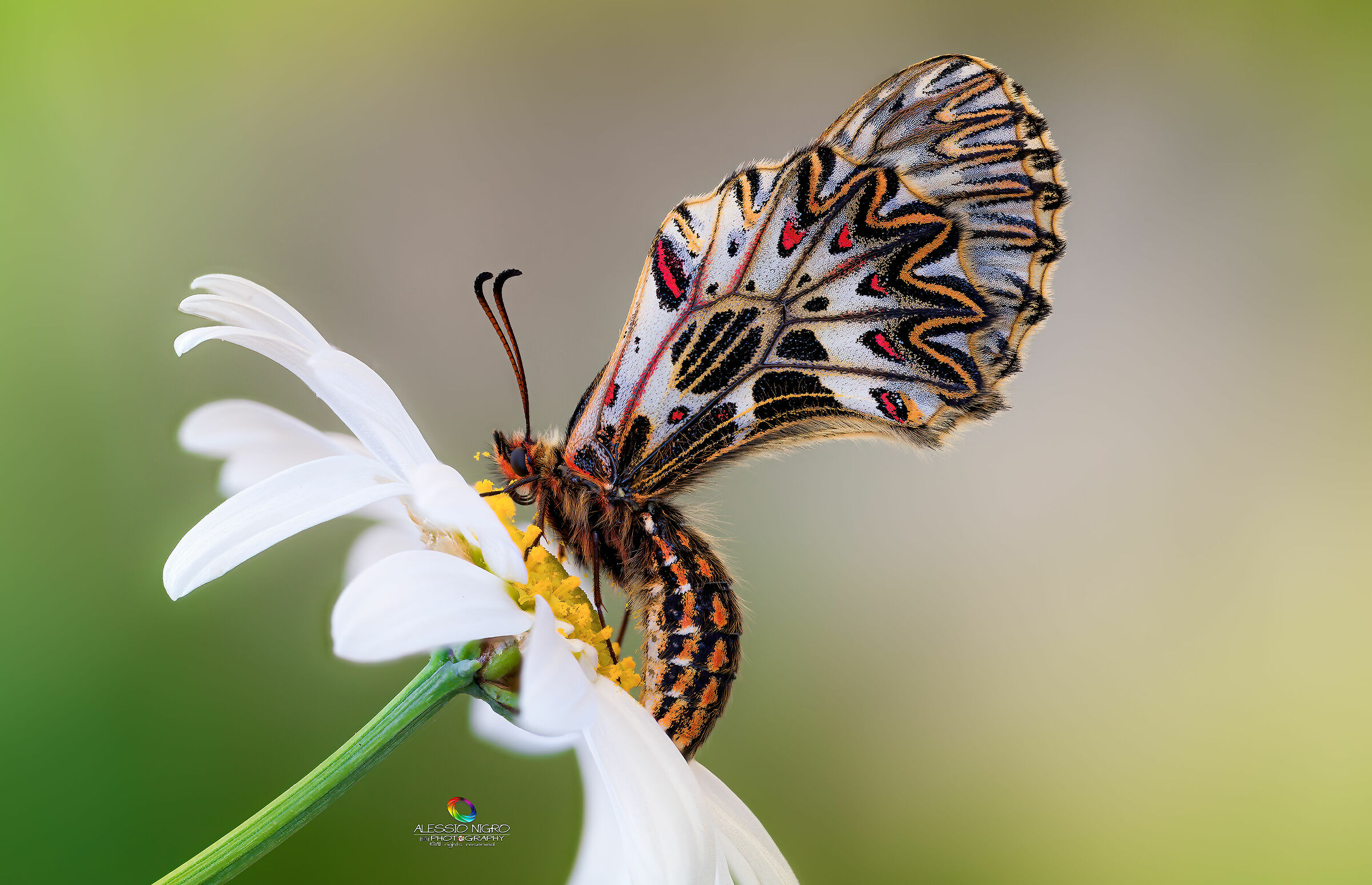 The Butterfly & the Daisy......
