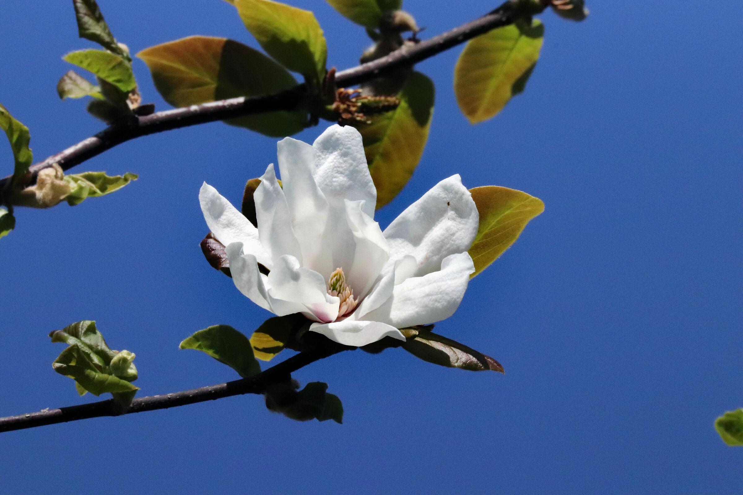 ... magnolia stellata, nel giardino di casa.......