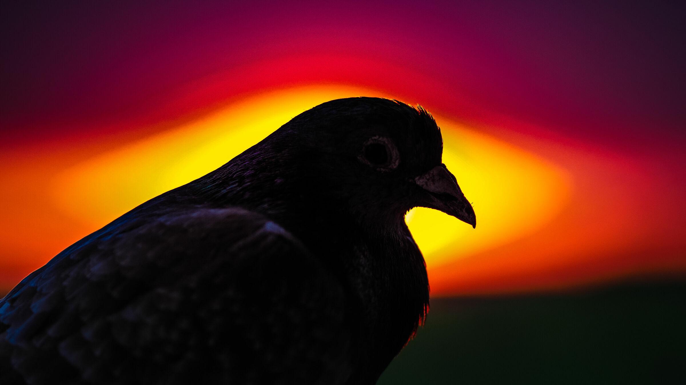 Pigeon sunset...