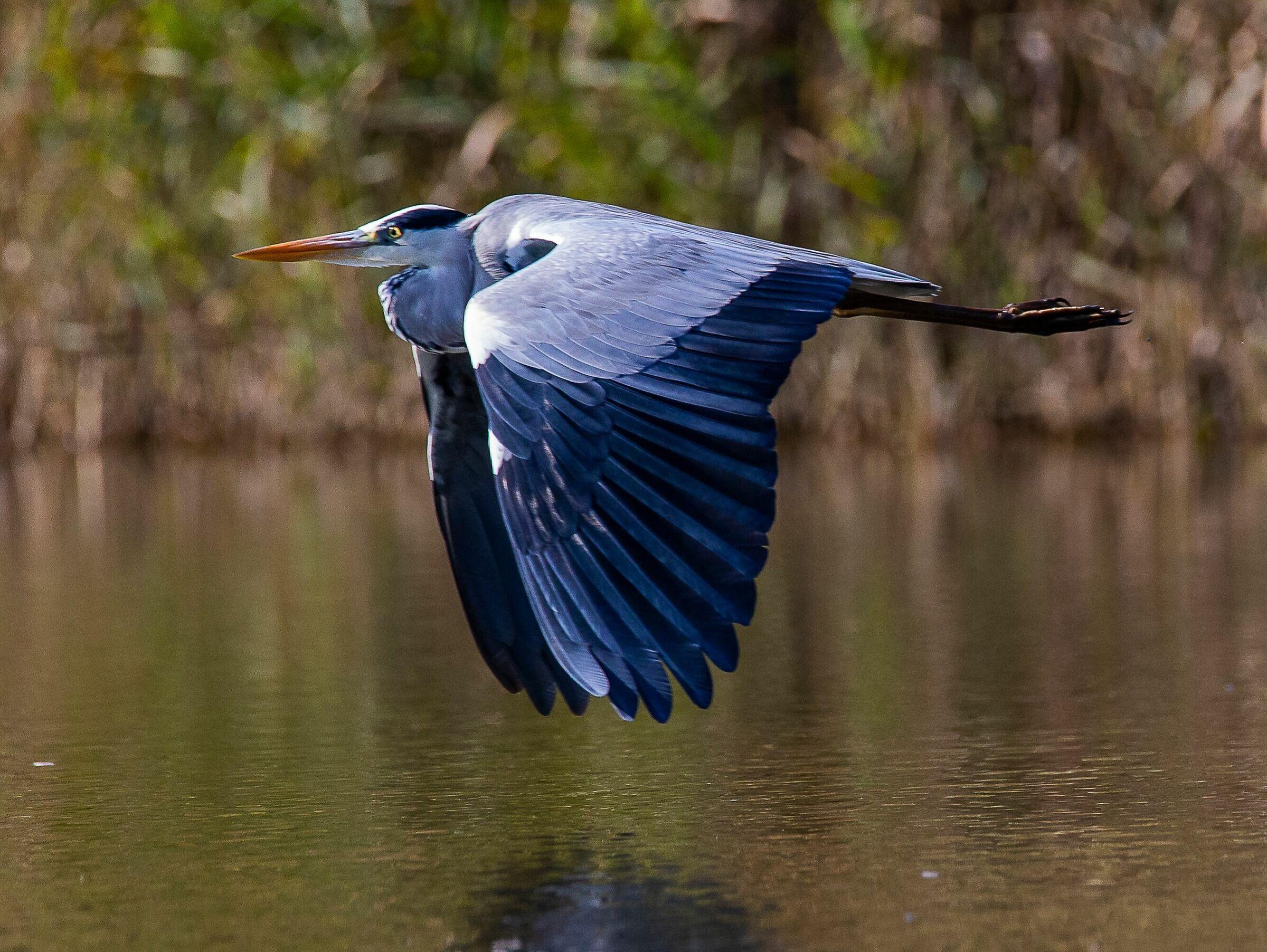 Ash heron in flight...