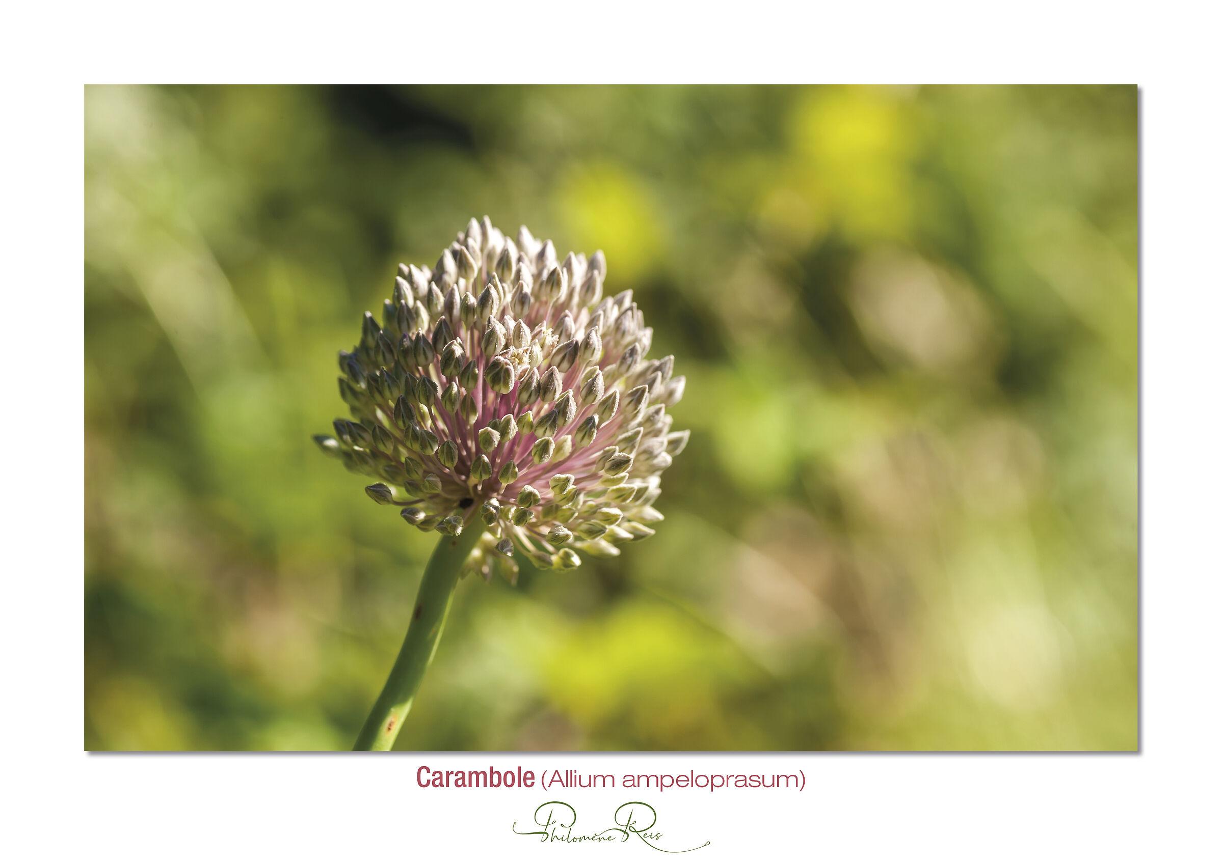 Carambole-Allium ampeloprasum....