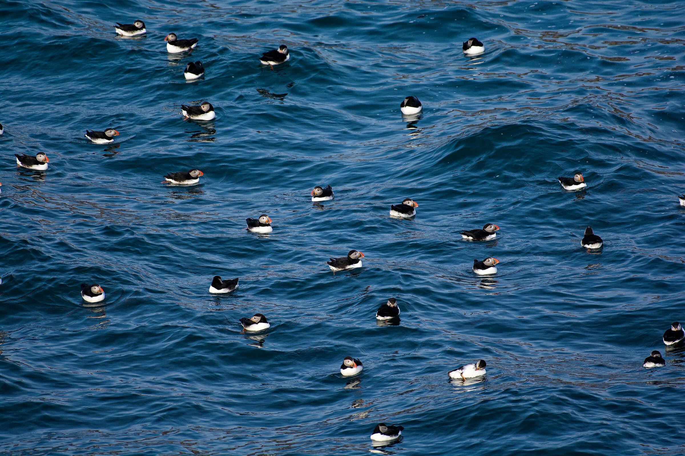 An ocean of puffins...