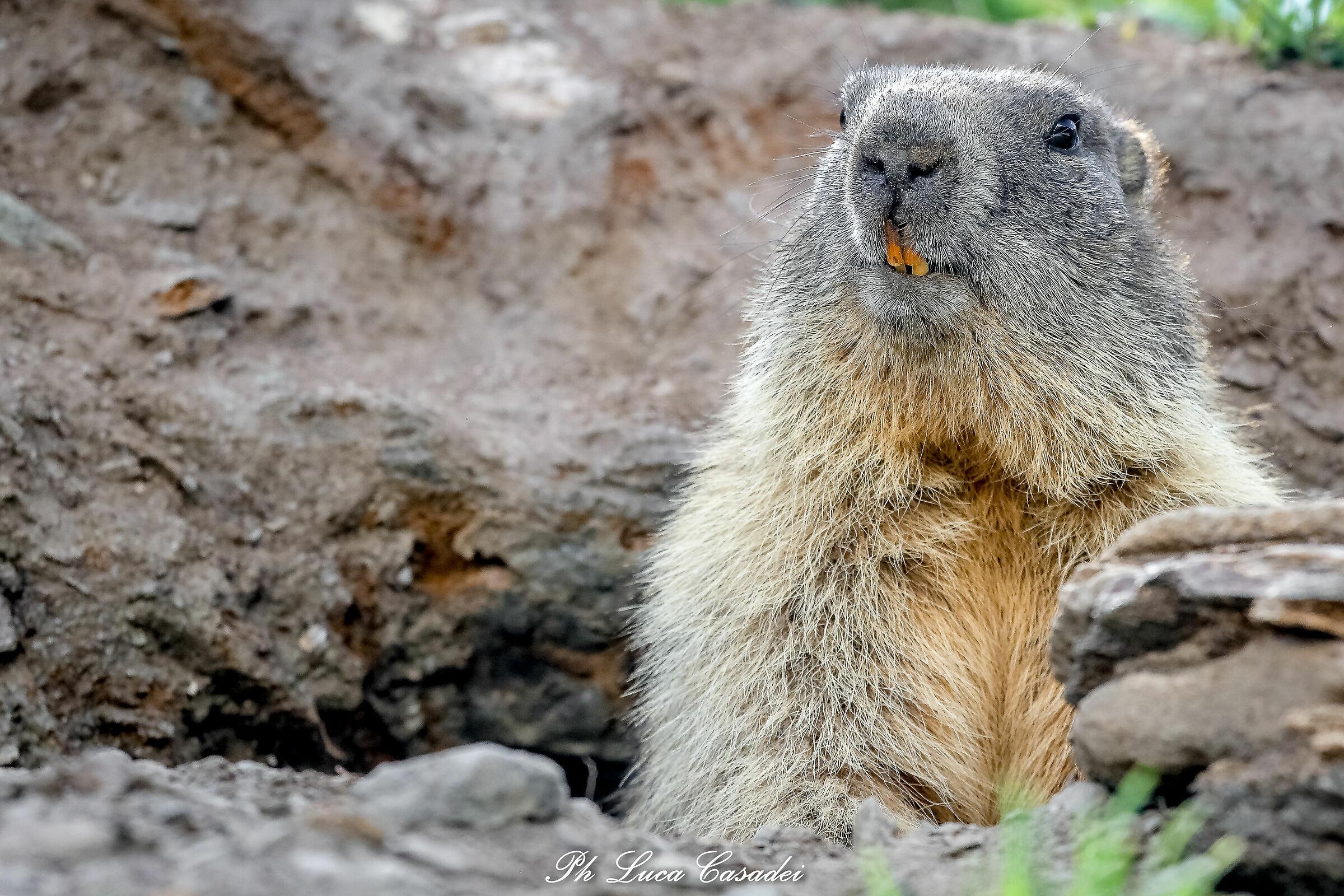 Curious Marmot...