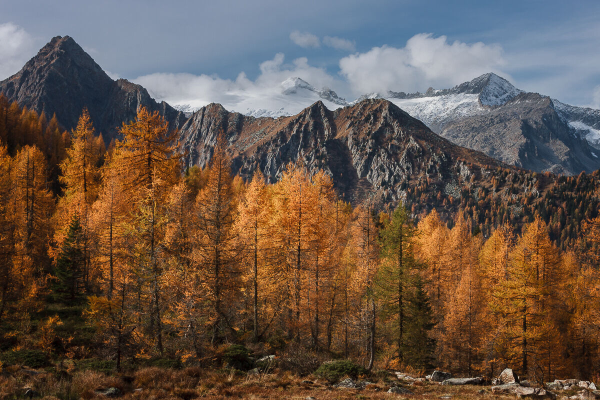 Larches on parade ......