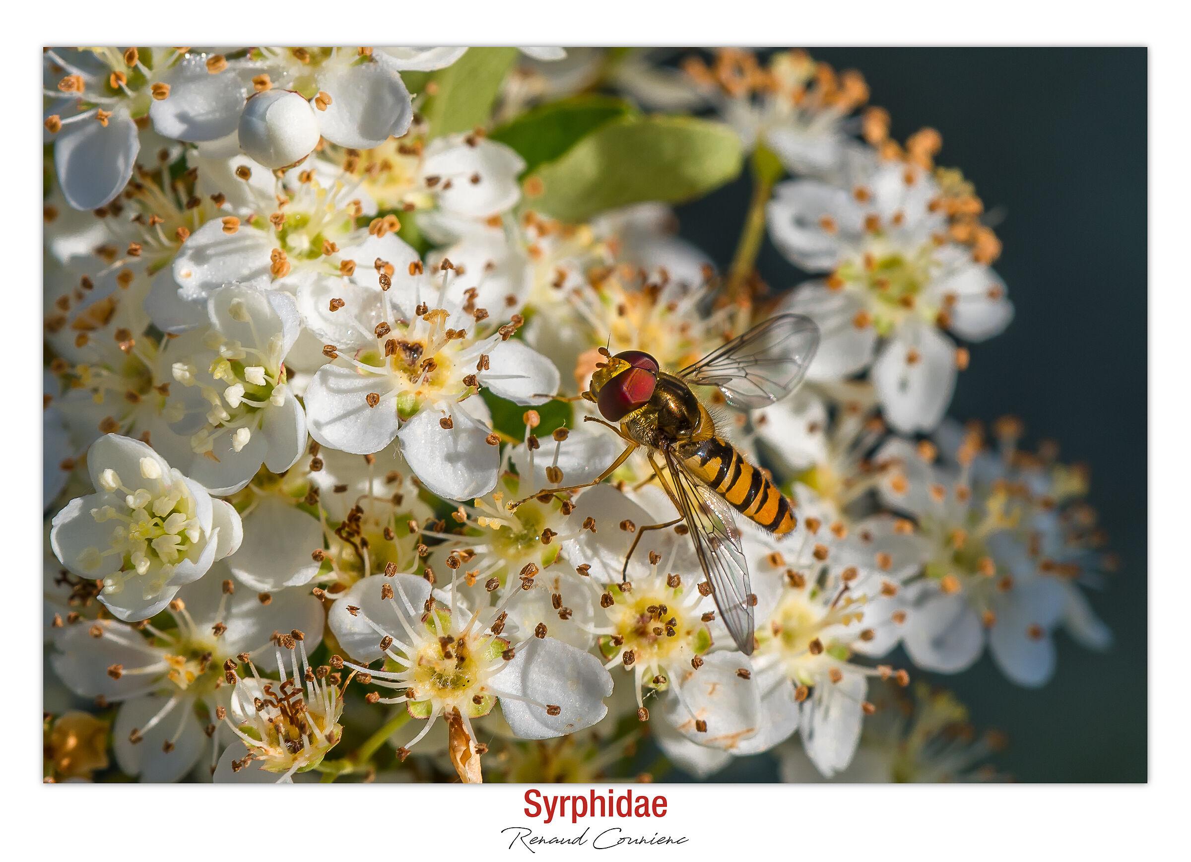 Syrphidae...