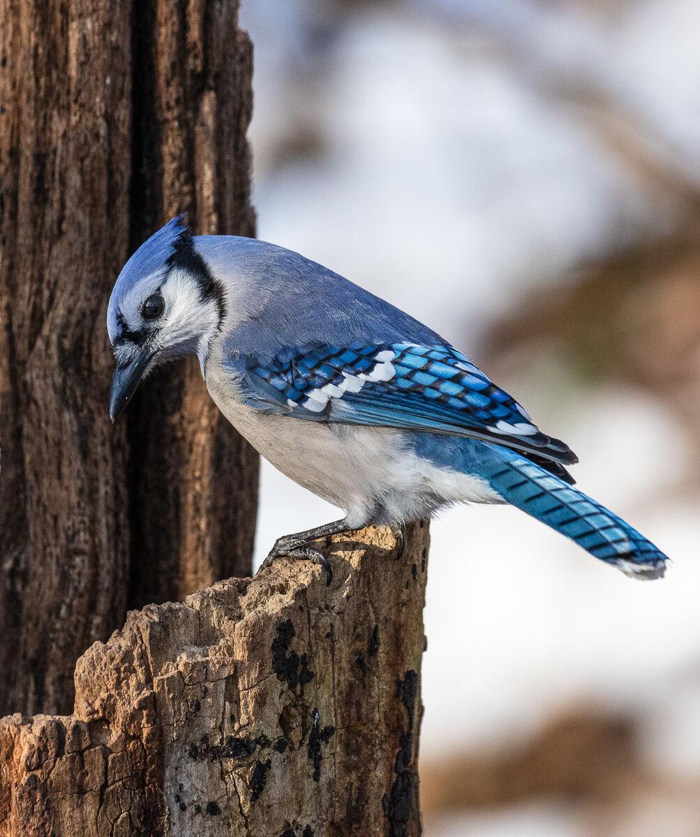 Blue Jay on Tree Stump....
