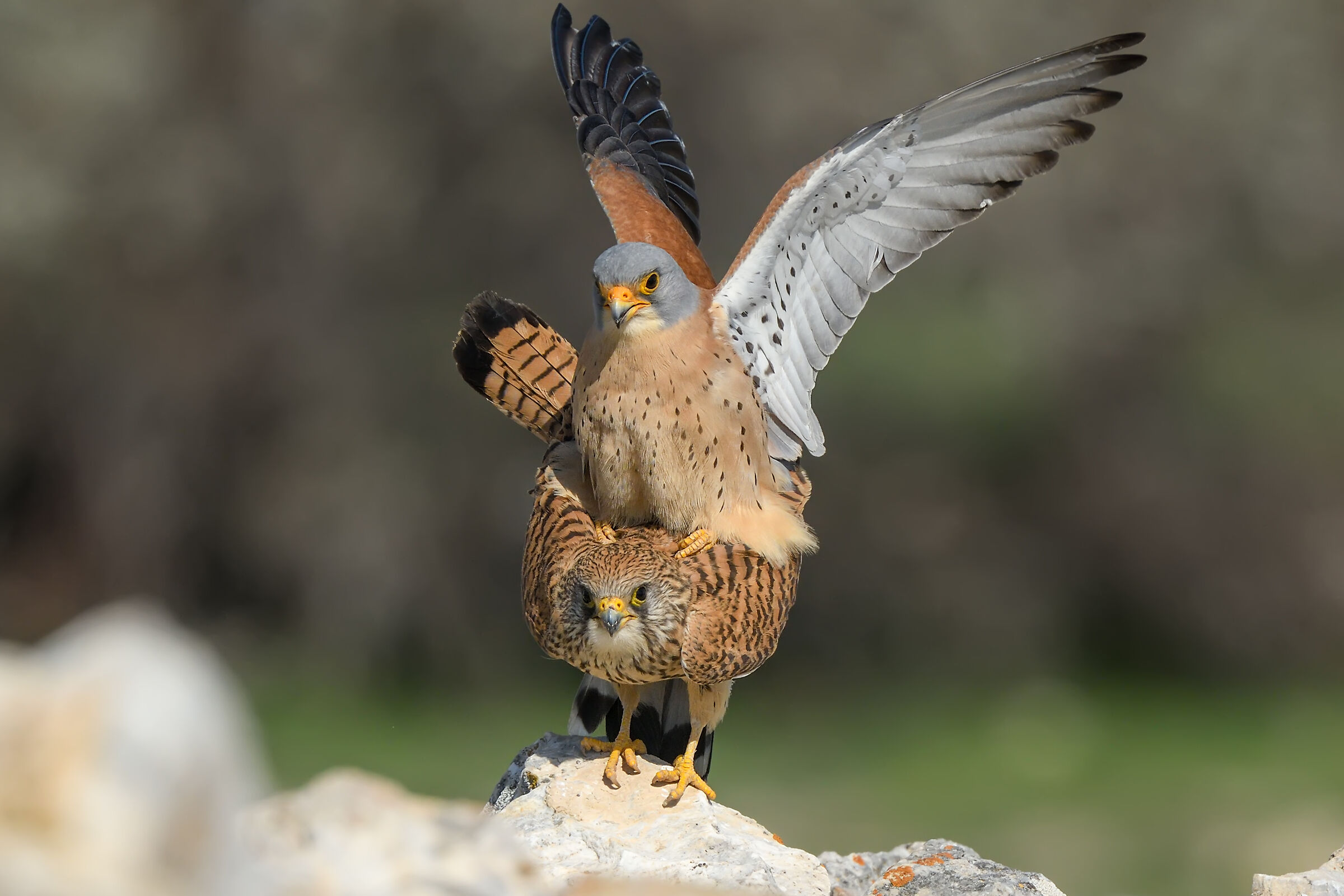 Falco naumanni » Lesser Kestrel...