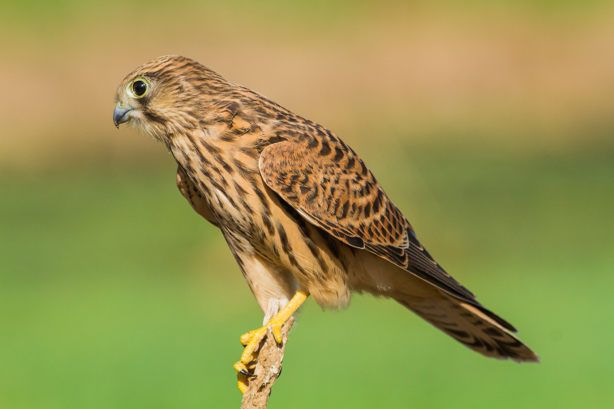 Just before he live me ( young Eurasian kestrel )...