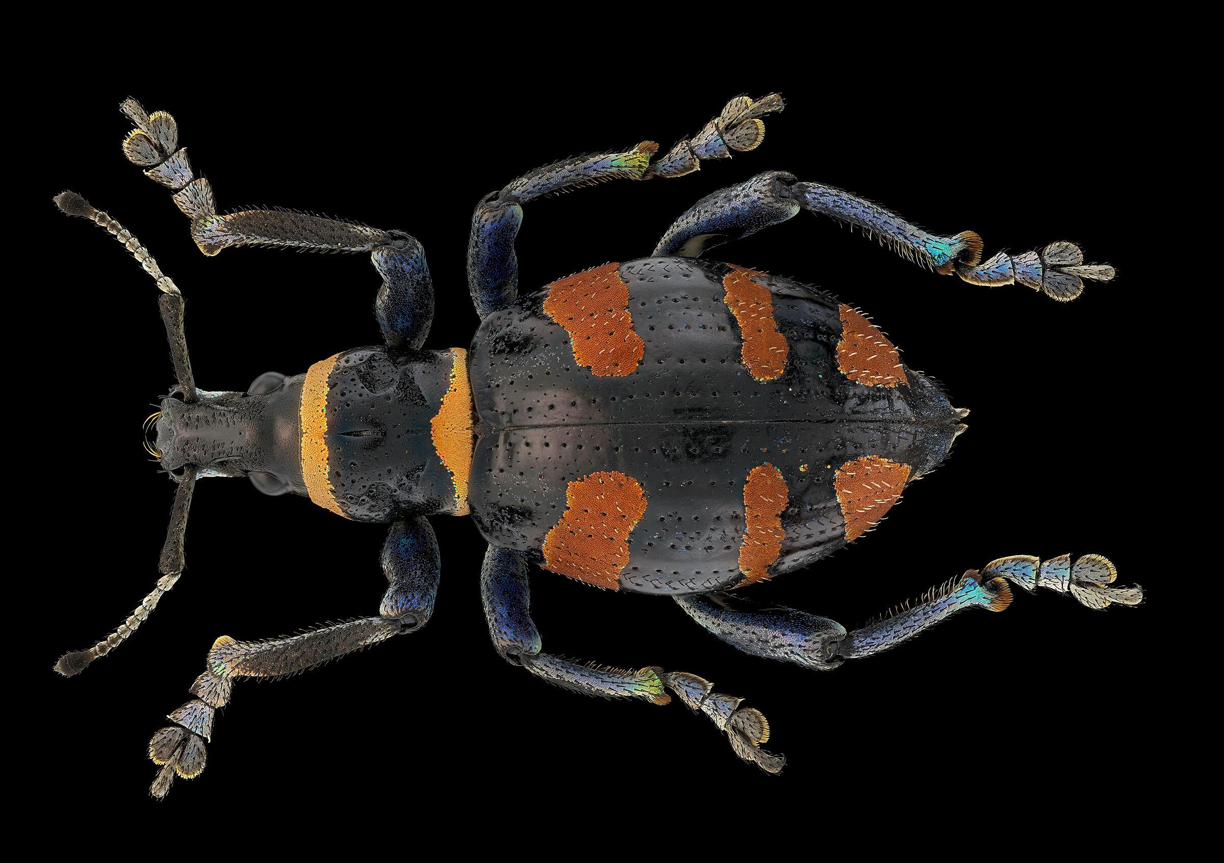 polycatus aurofasciatus...
