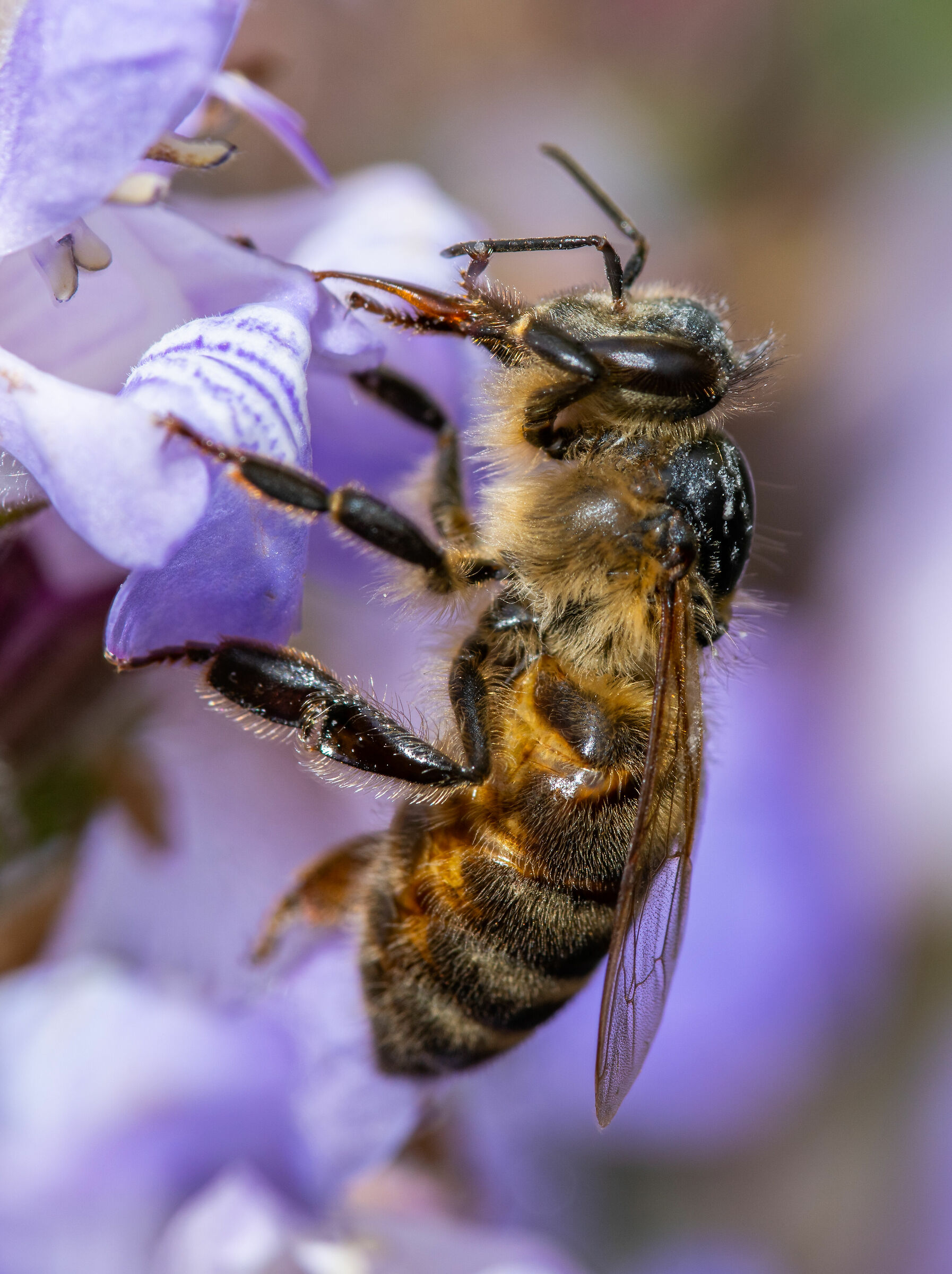 Bees and sage2...