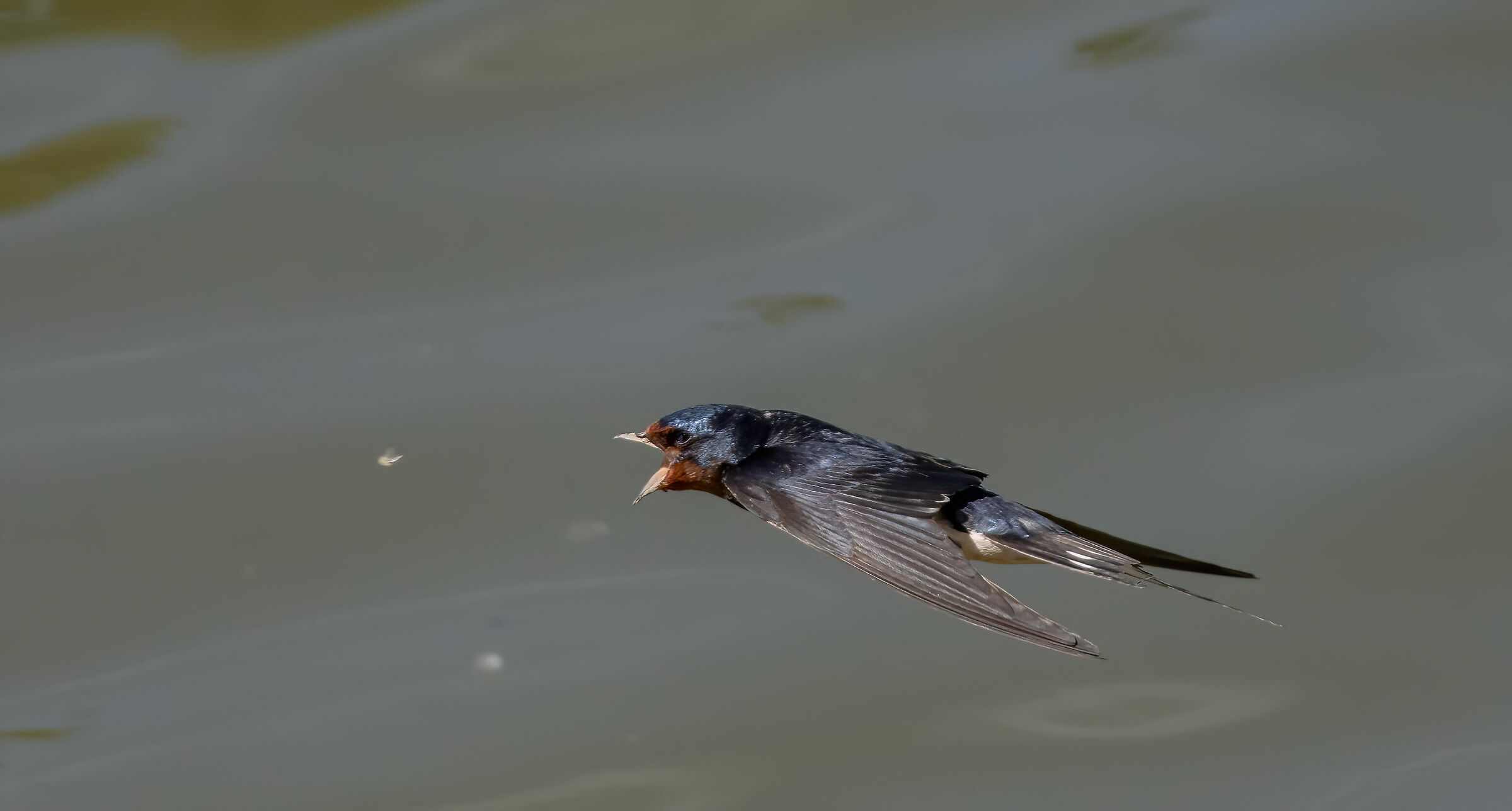 swallow catches insect...