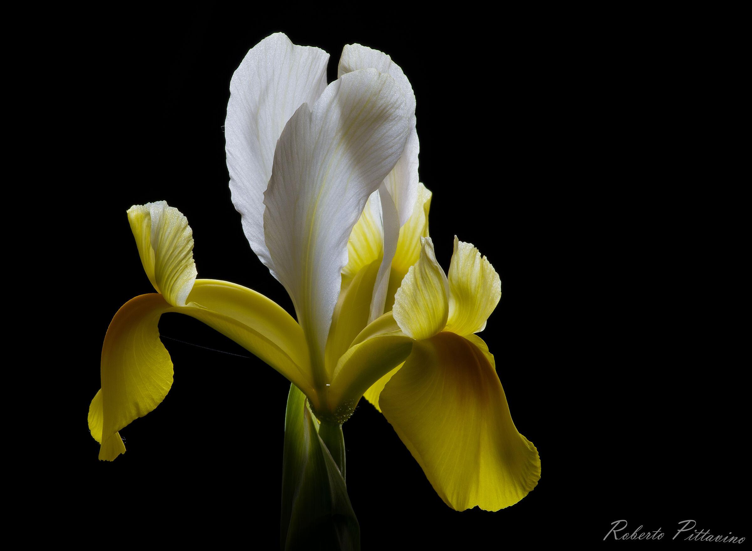 Iris...