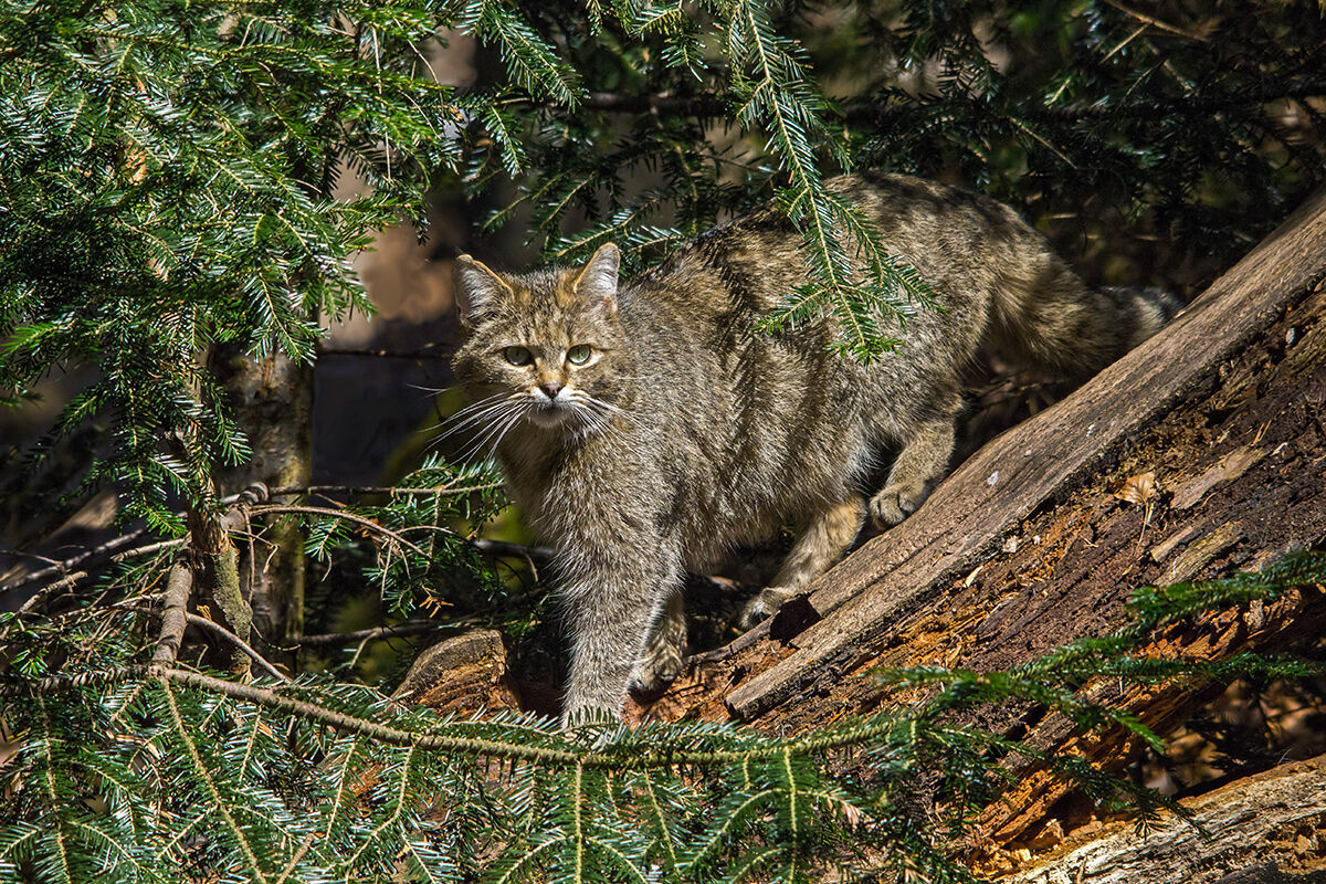 Wildcat...