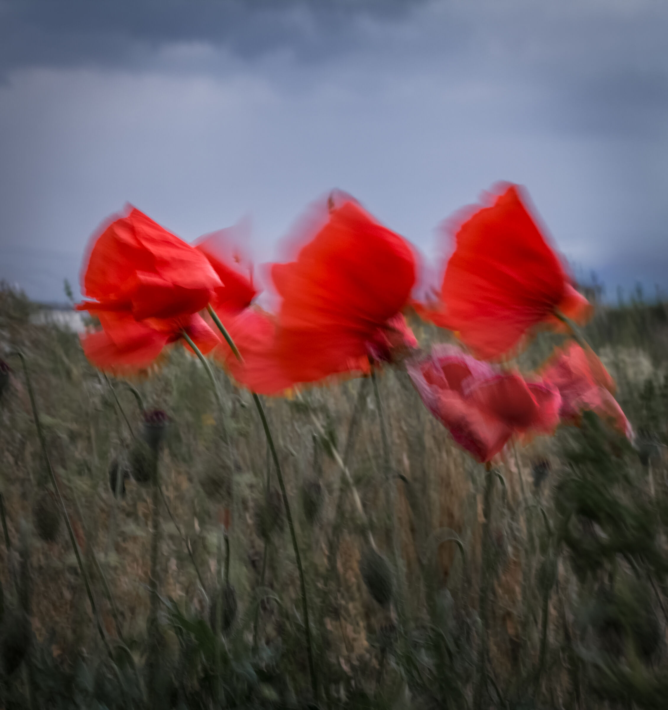 The dance of poppies...