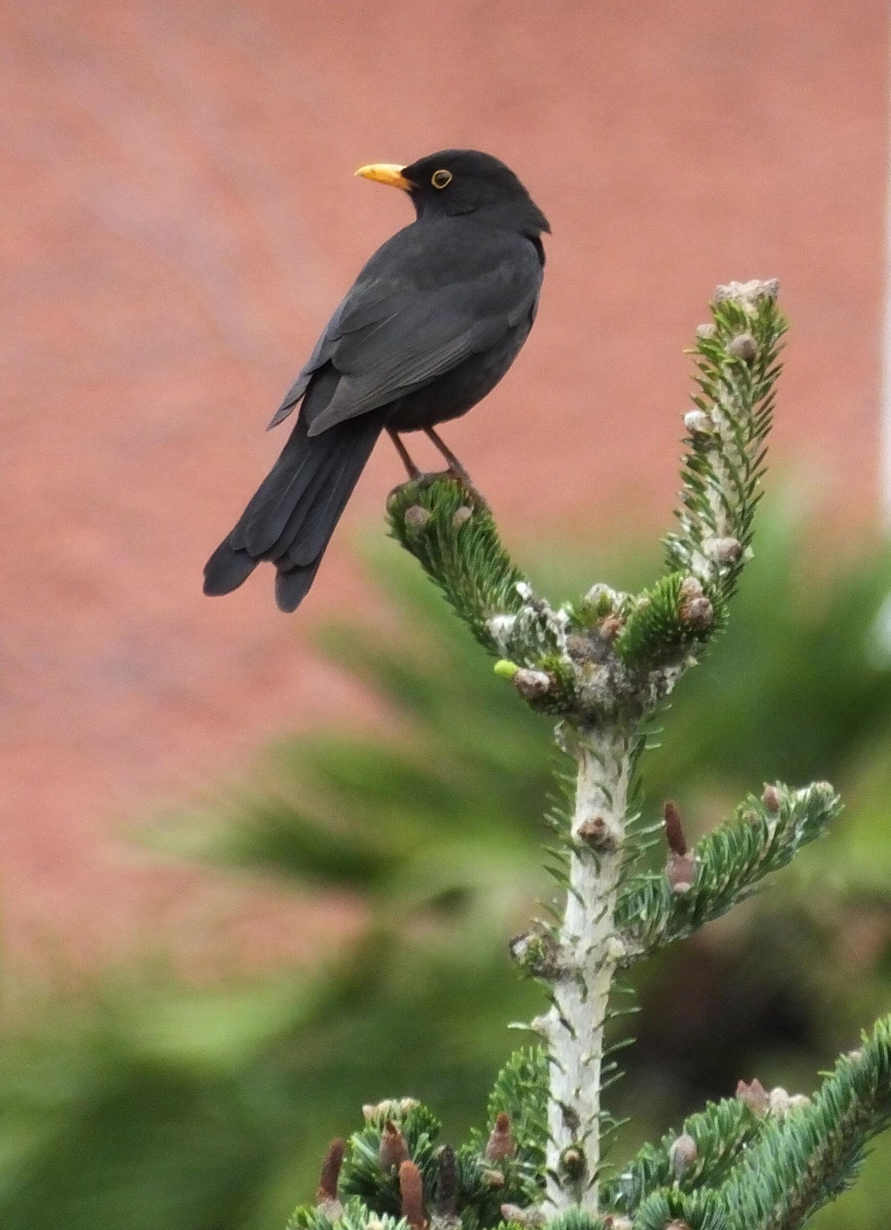 blackbird on fir...