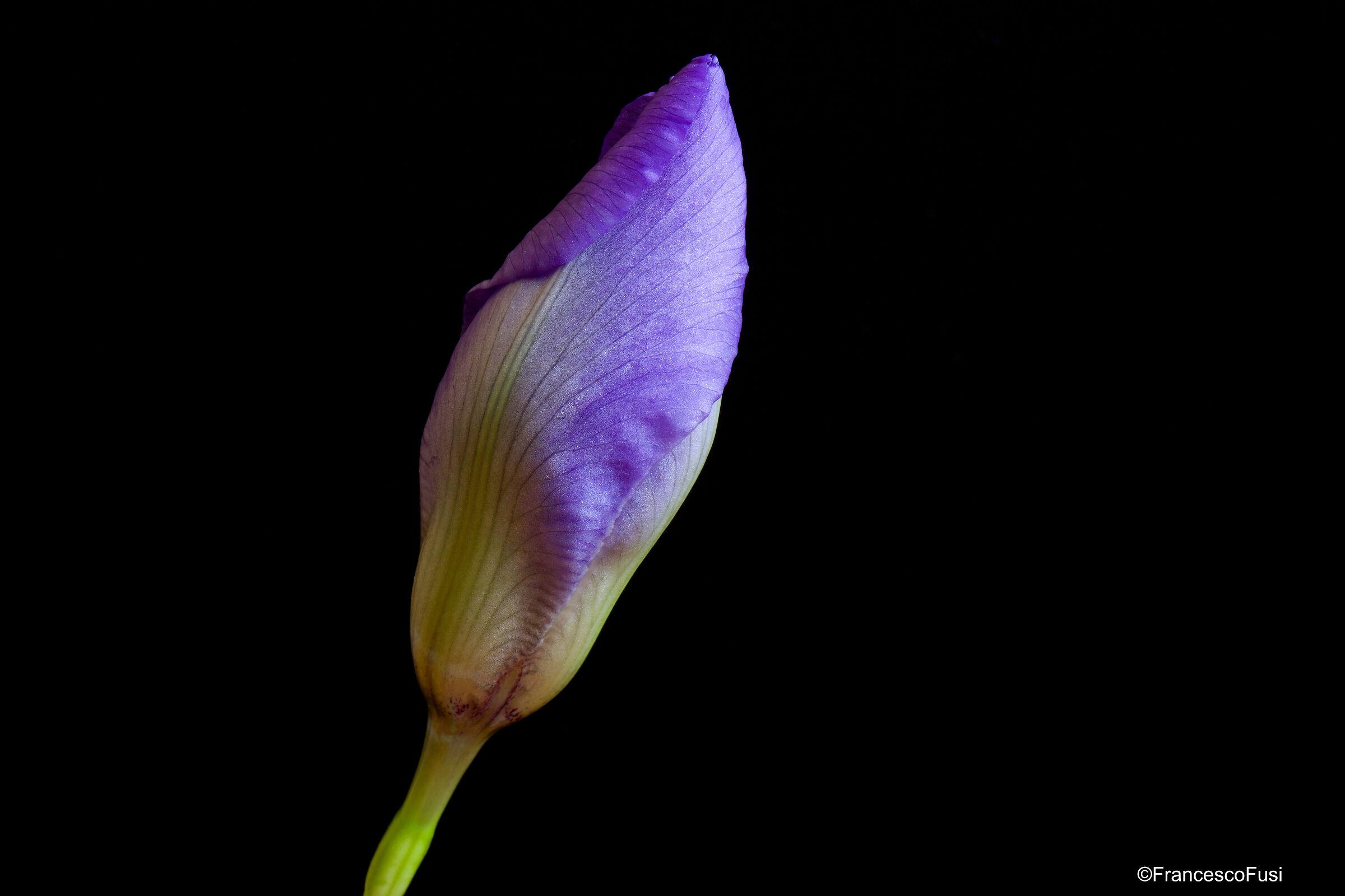 Iris blossom...