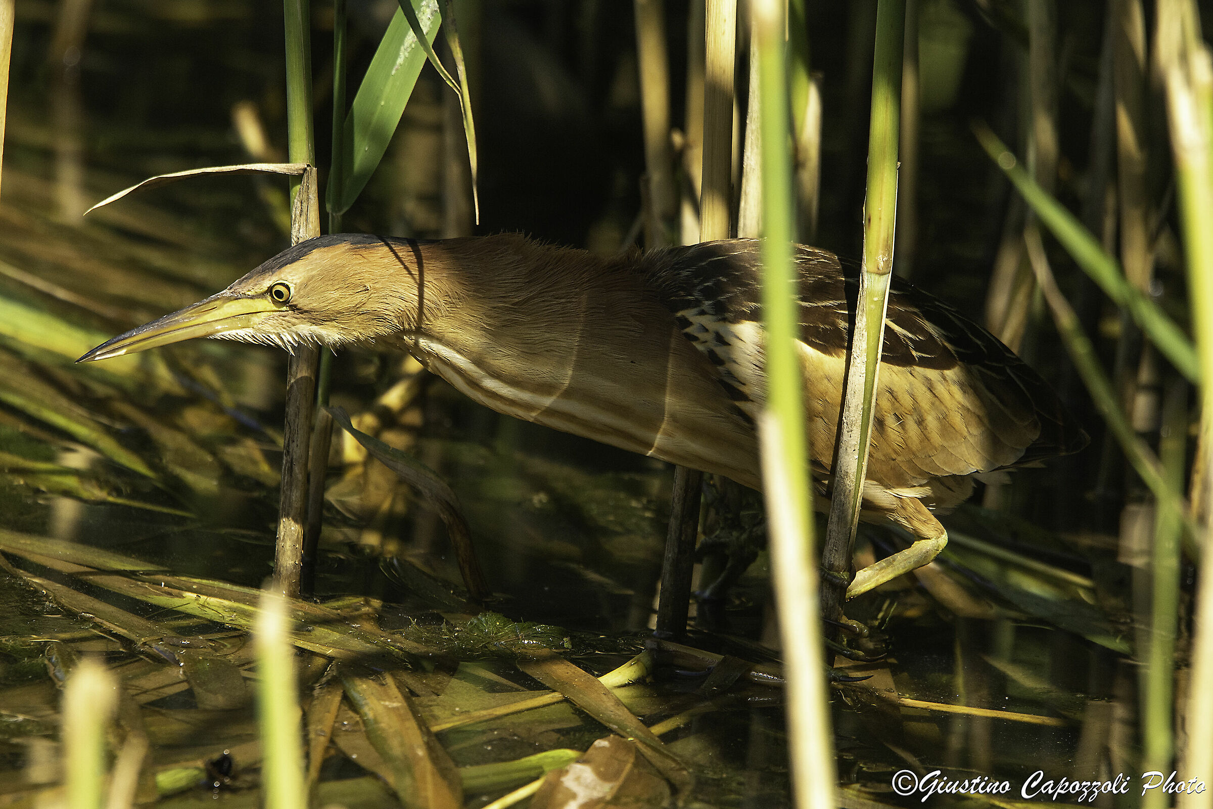Ambushed in the reed...