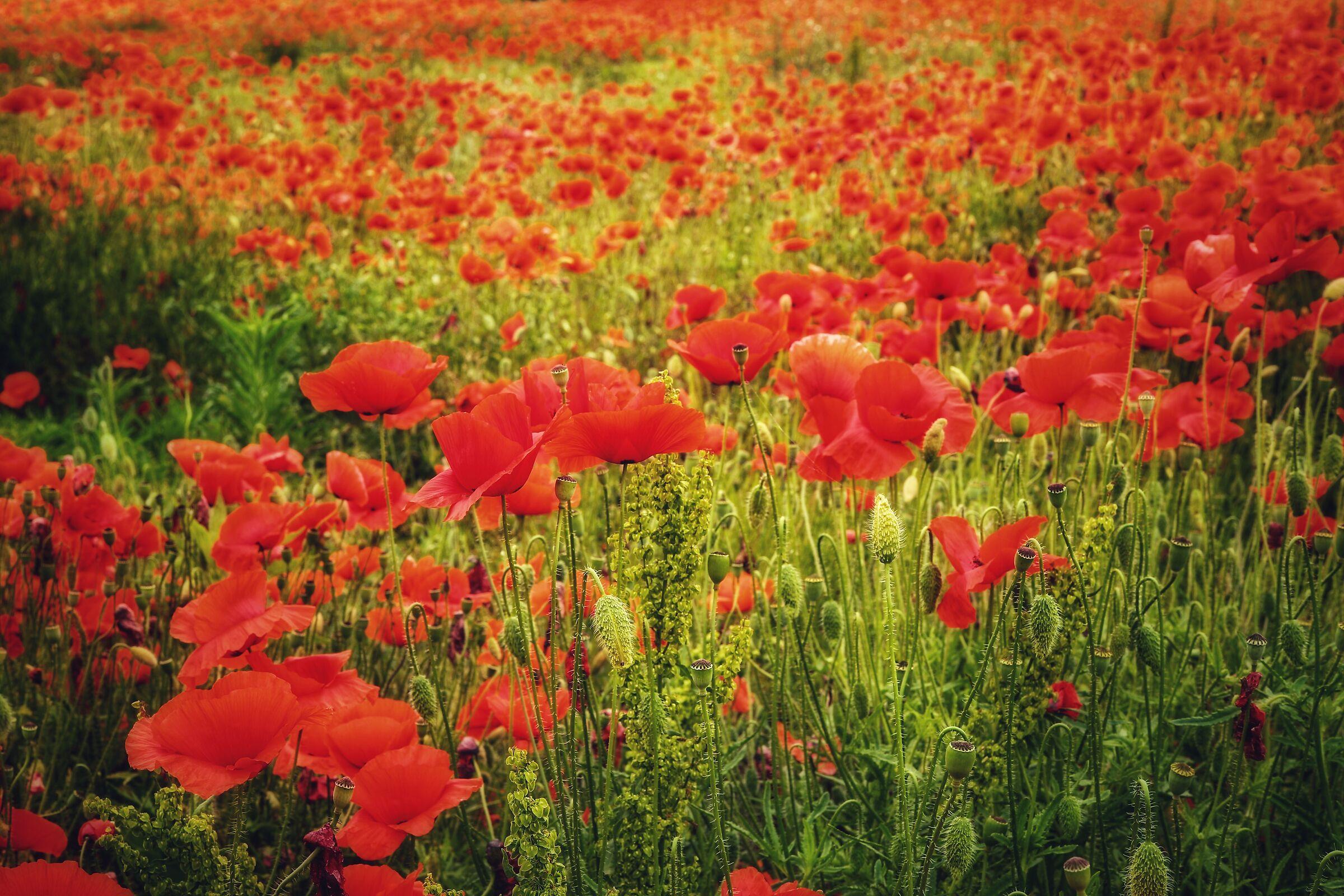 Many, many, a sea of poppies....
