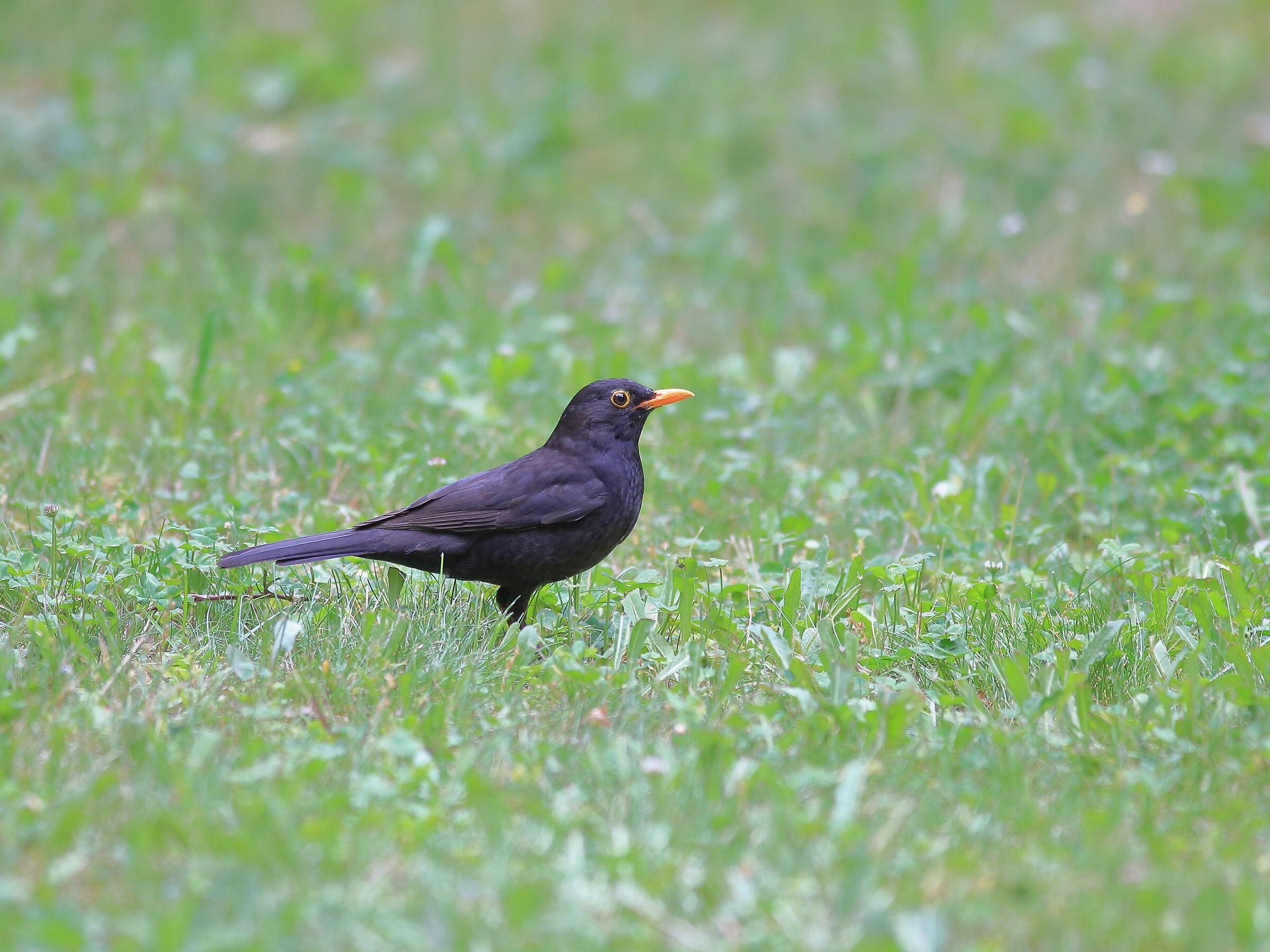 blackbird on the walk watch in May...
