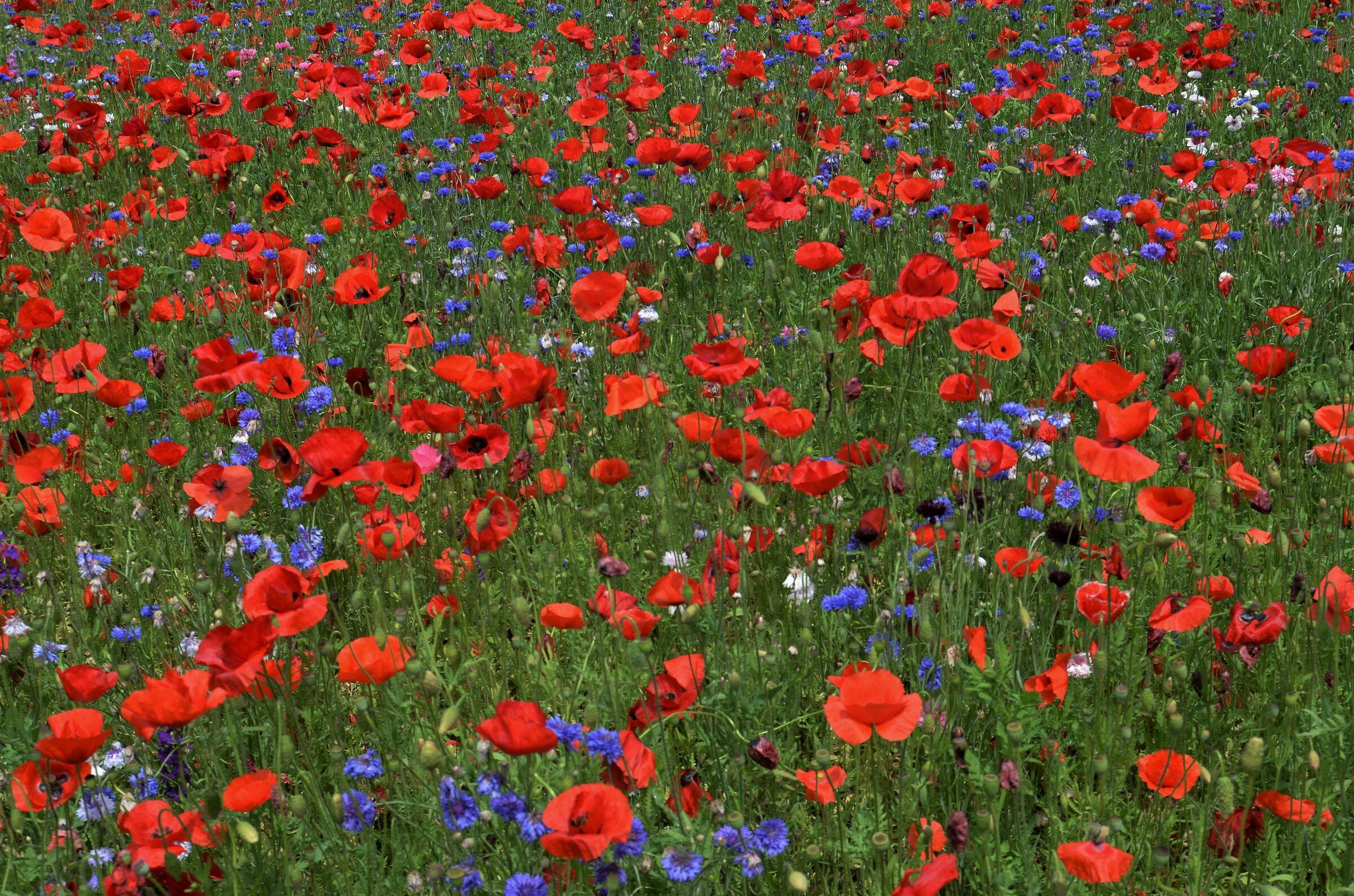 campo di fiori di maggio...