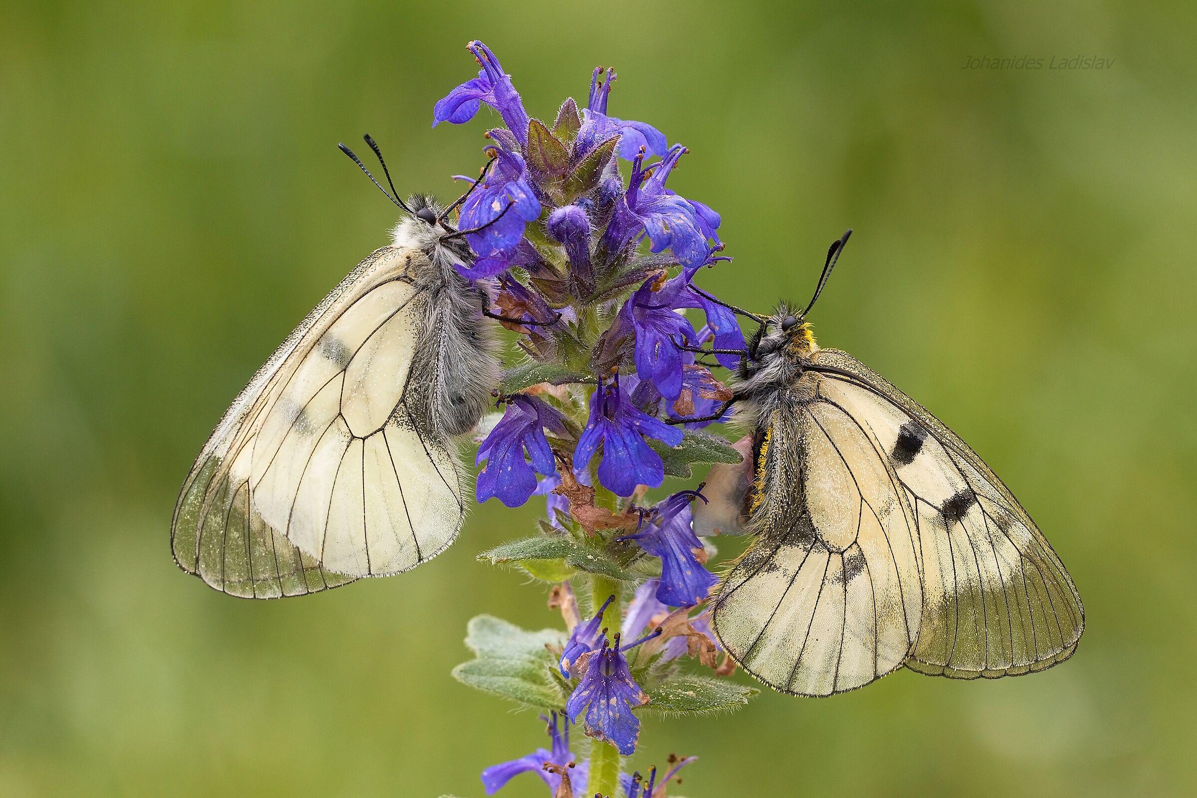 Parnassius mnemosyne (male - female)...