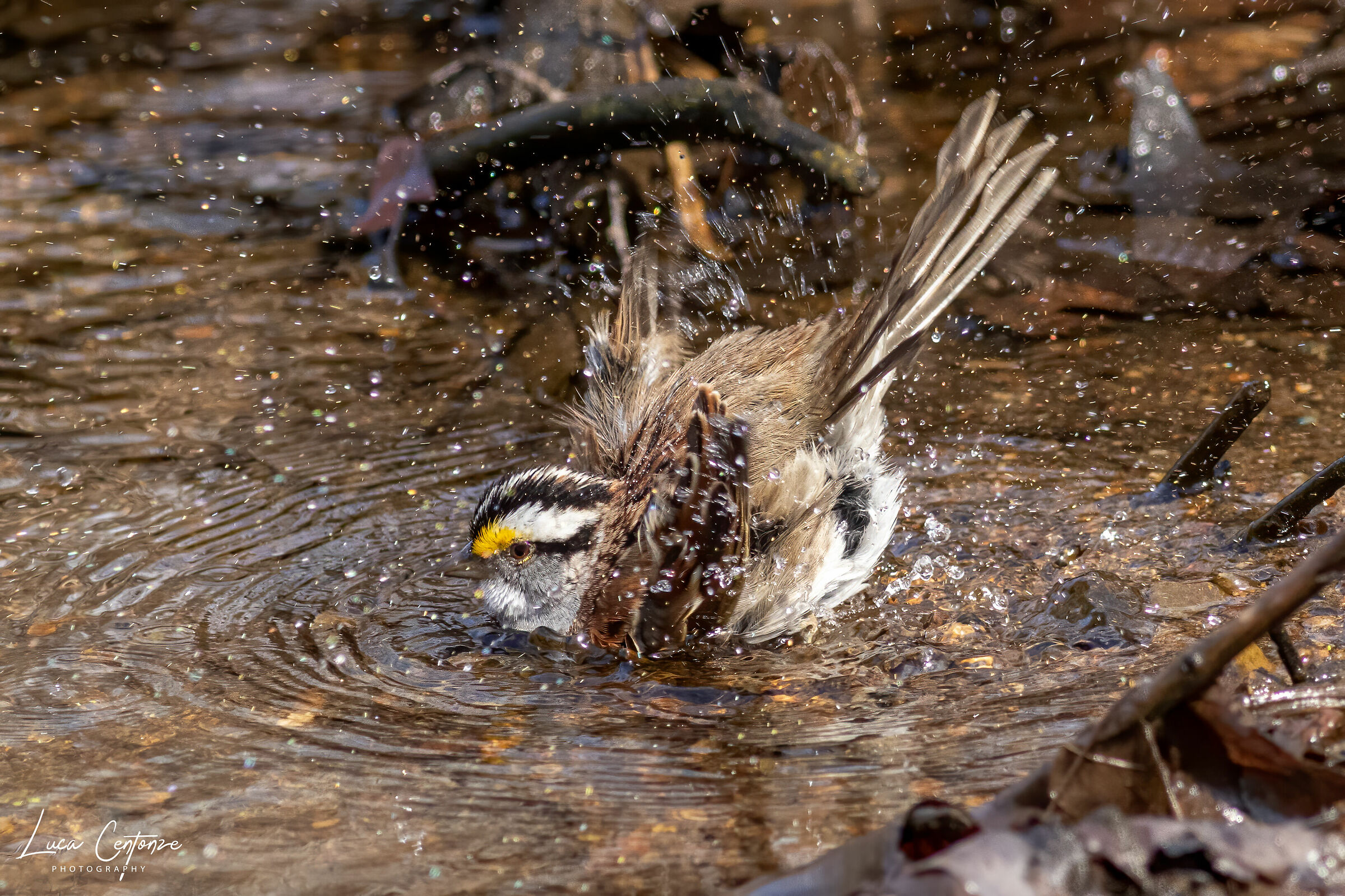 White-throated Sparrow...