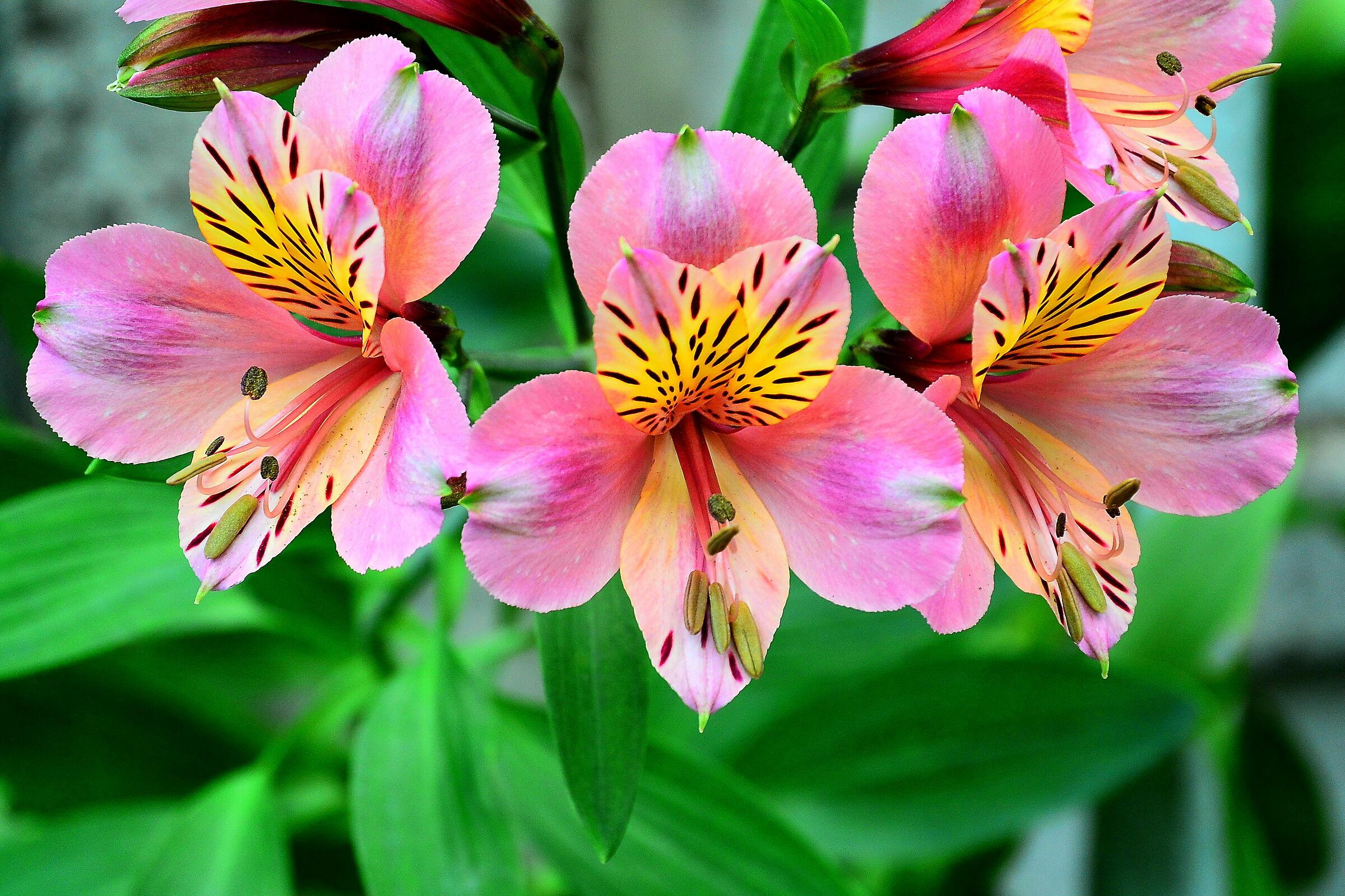Alstroemeria or the flower of friendship...