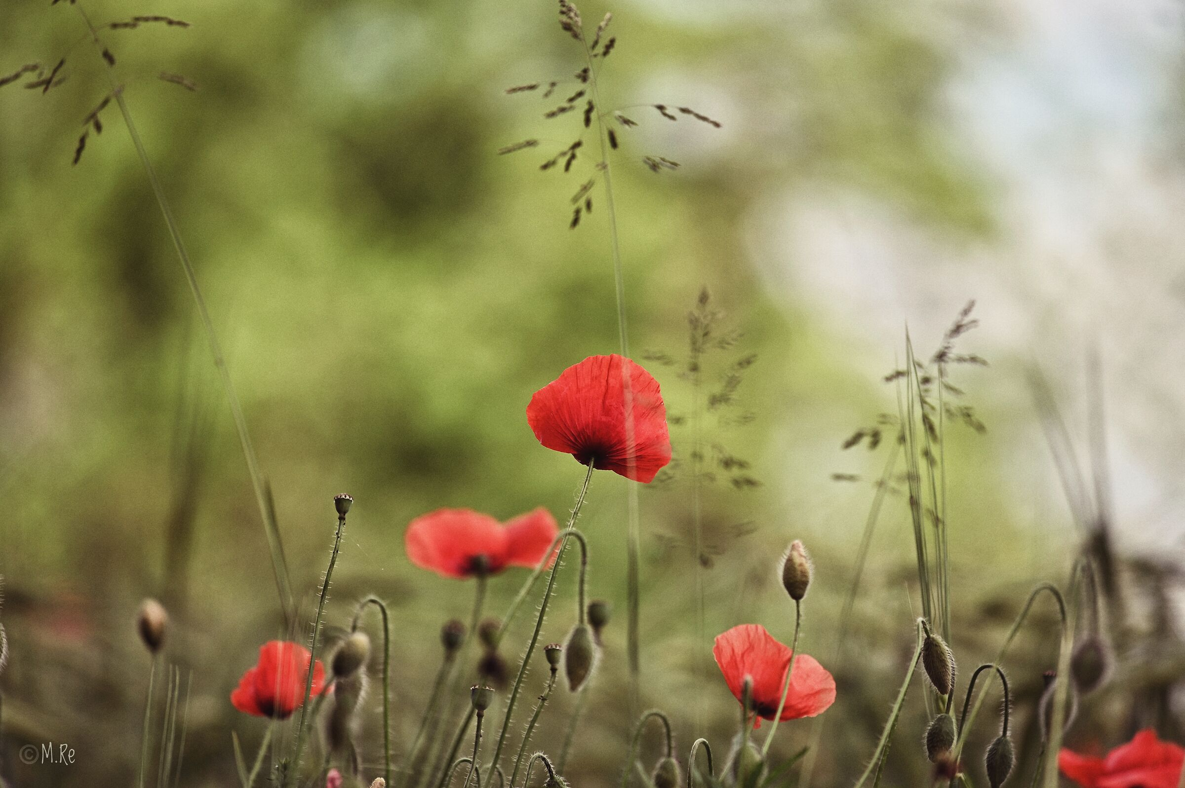 Poppies, New Jersey...