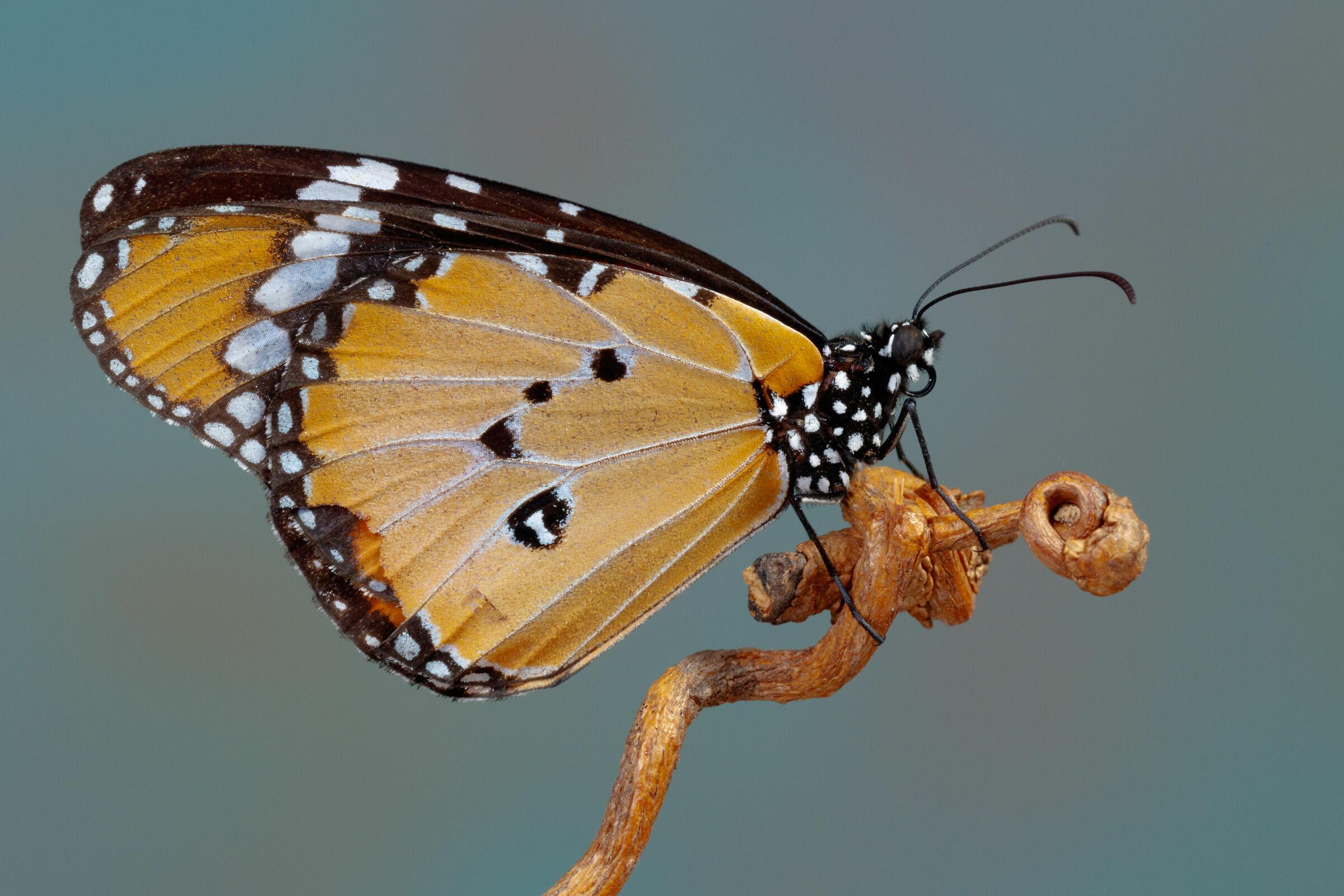 Milkweed Butterfly...