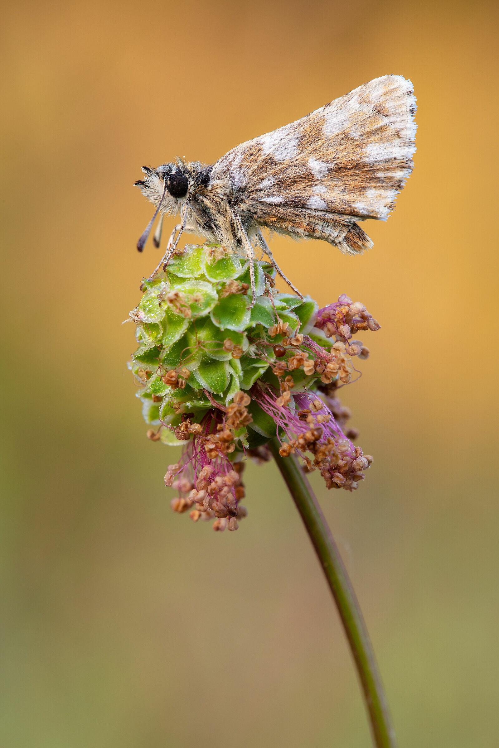 Hesperidae...