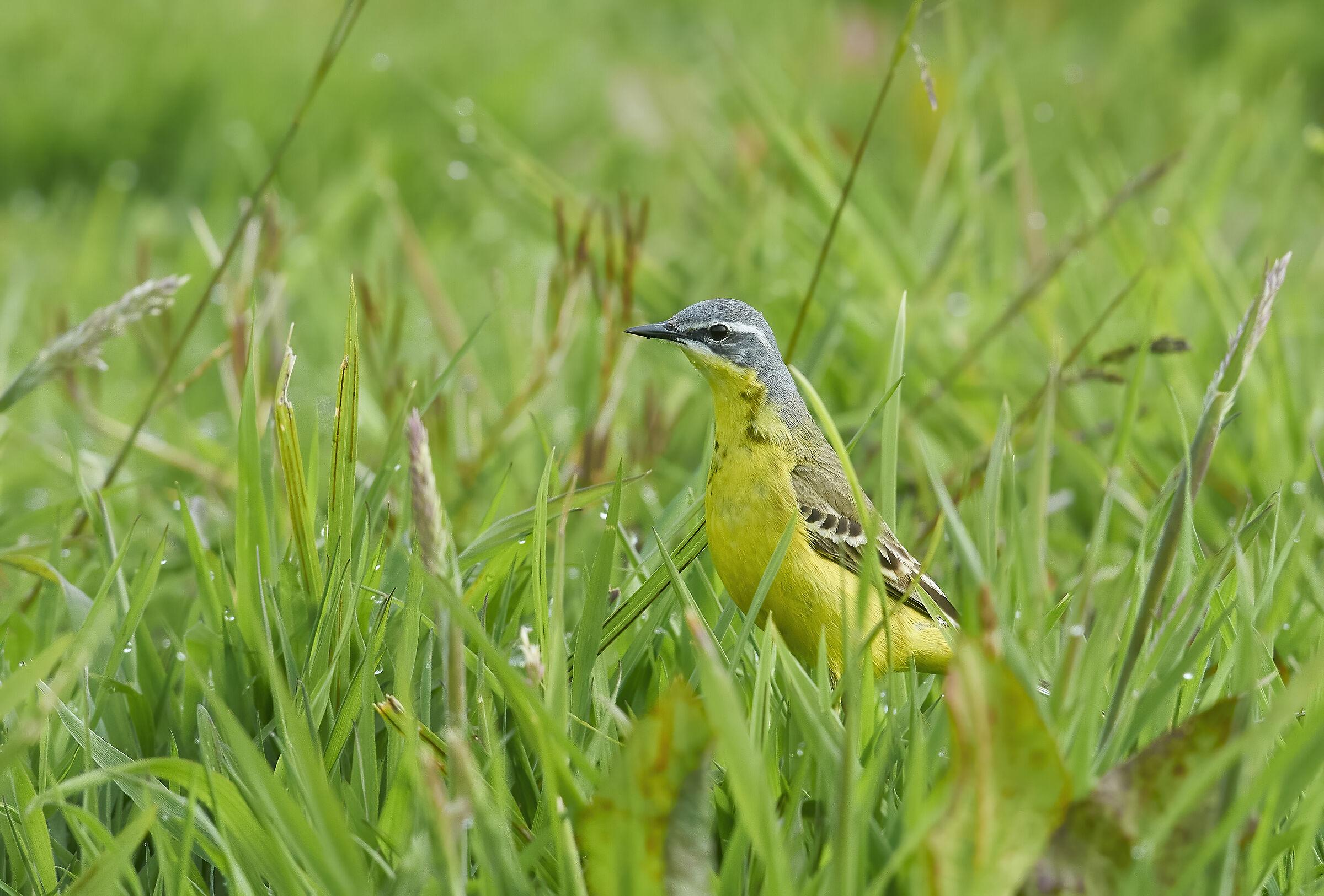 Yellow Wagtail...