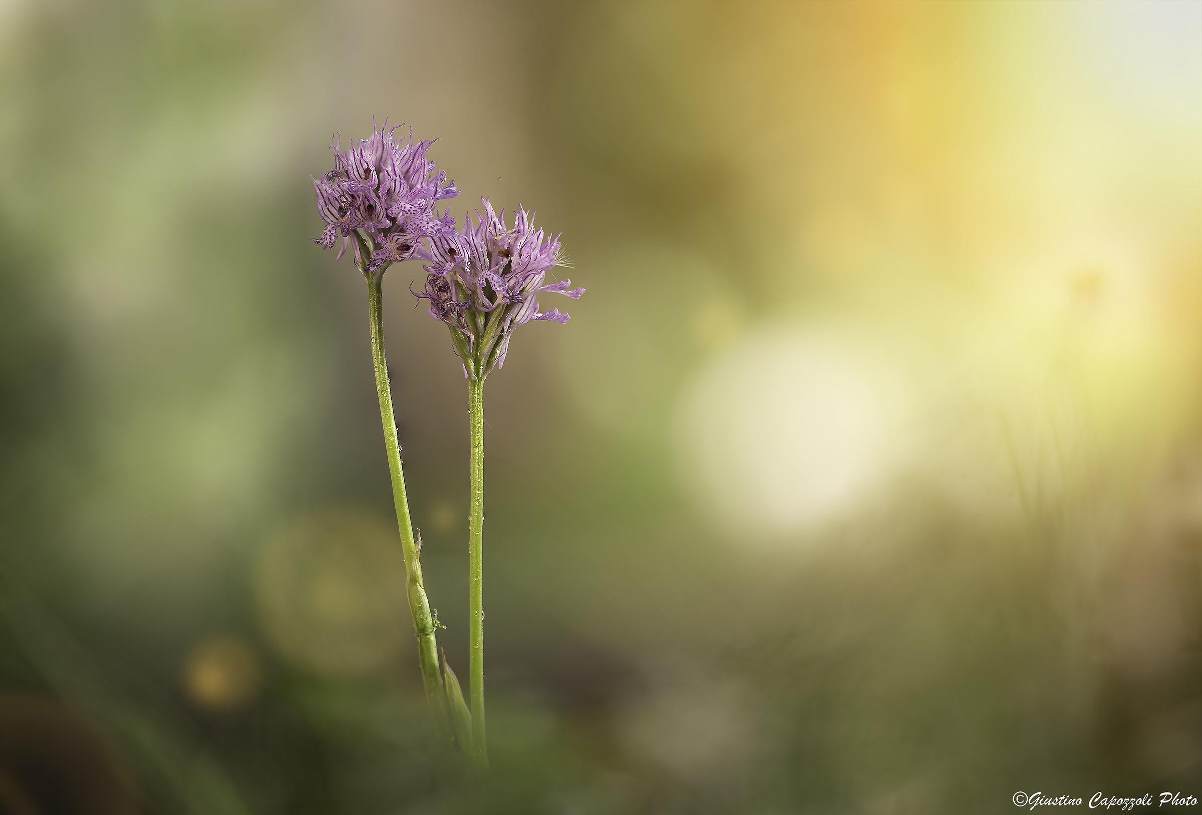 Orchis Tridentata...