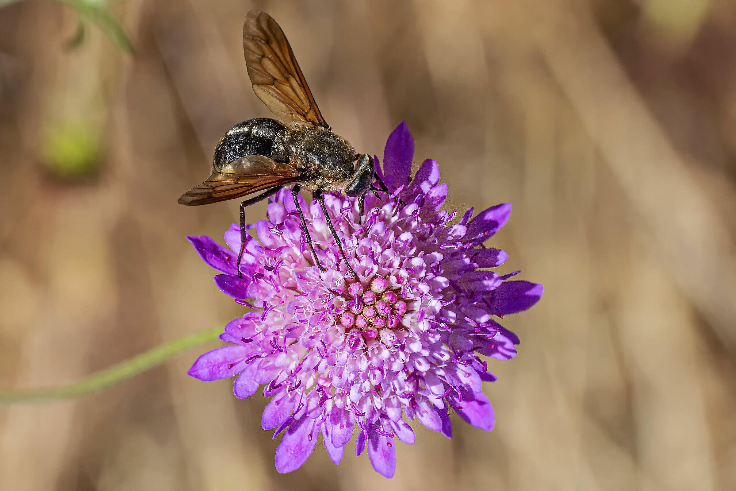 Diptera Tabanidae...