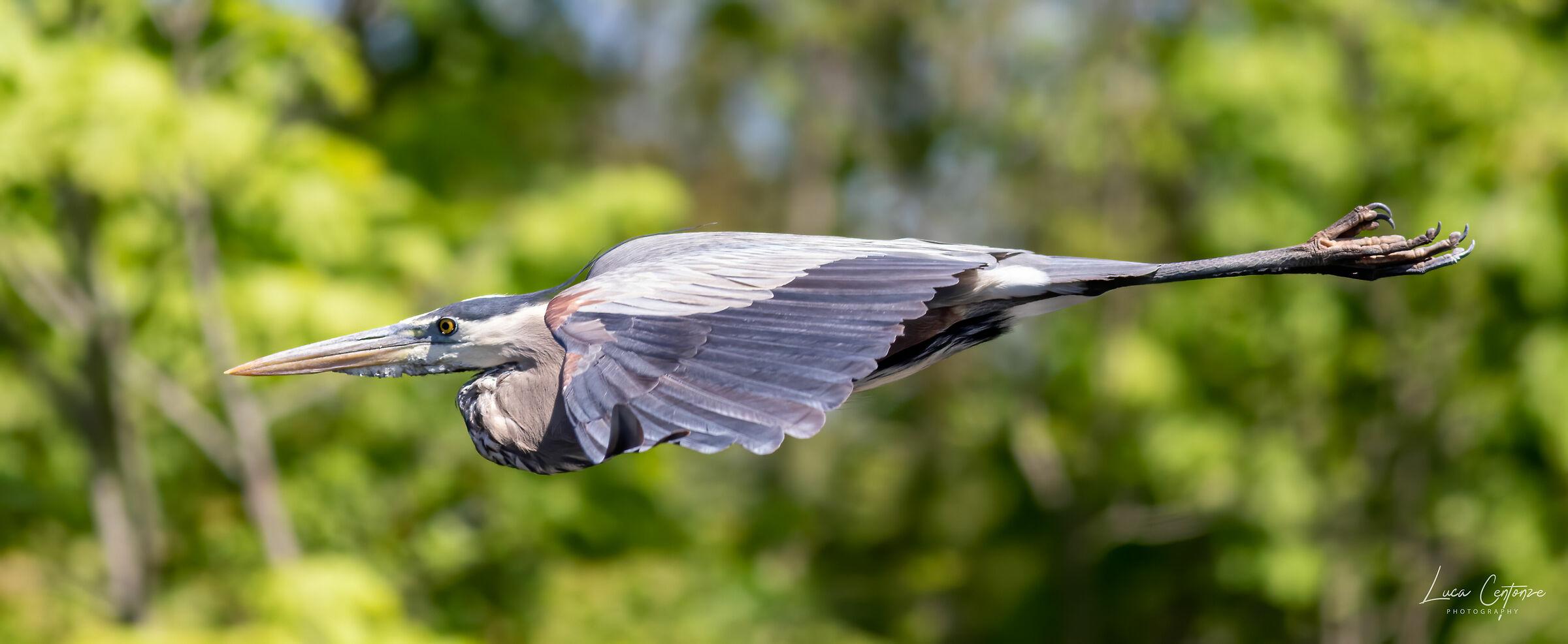 Great Blue Heron flying......