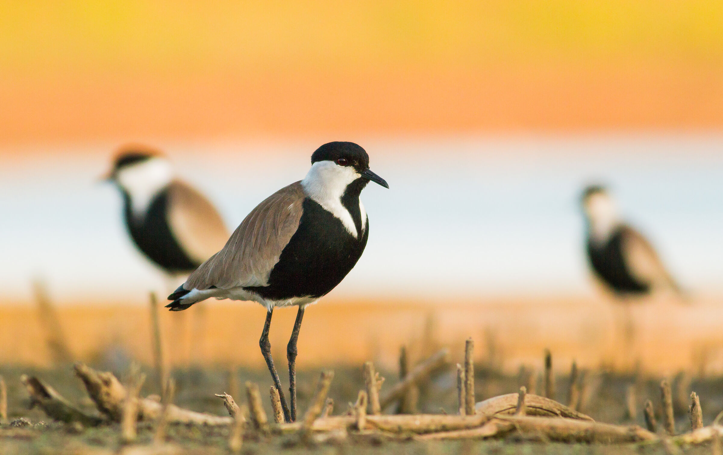 colorful winter evening ( spur winged plover )...