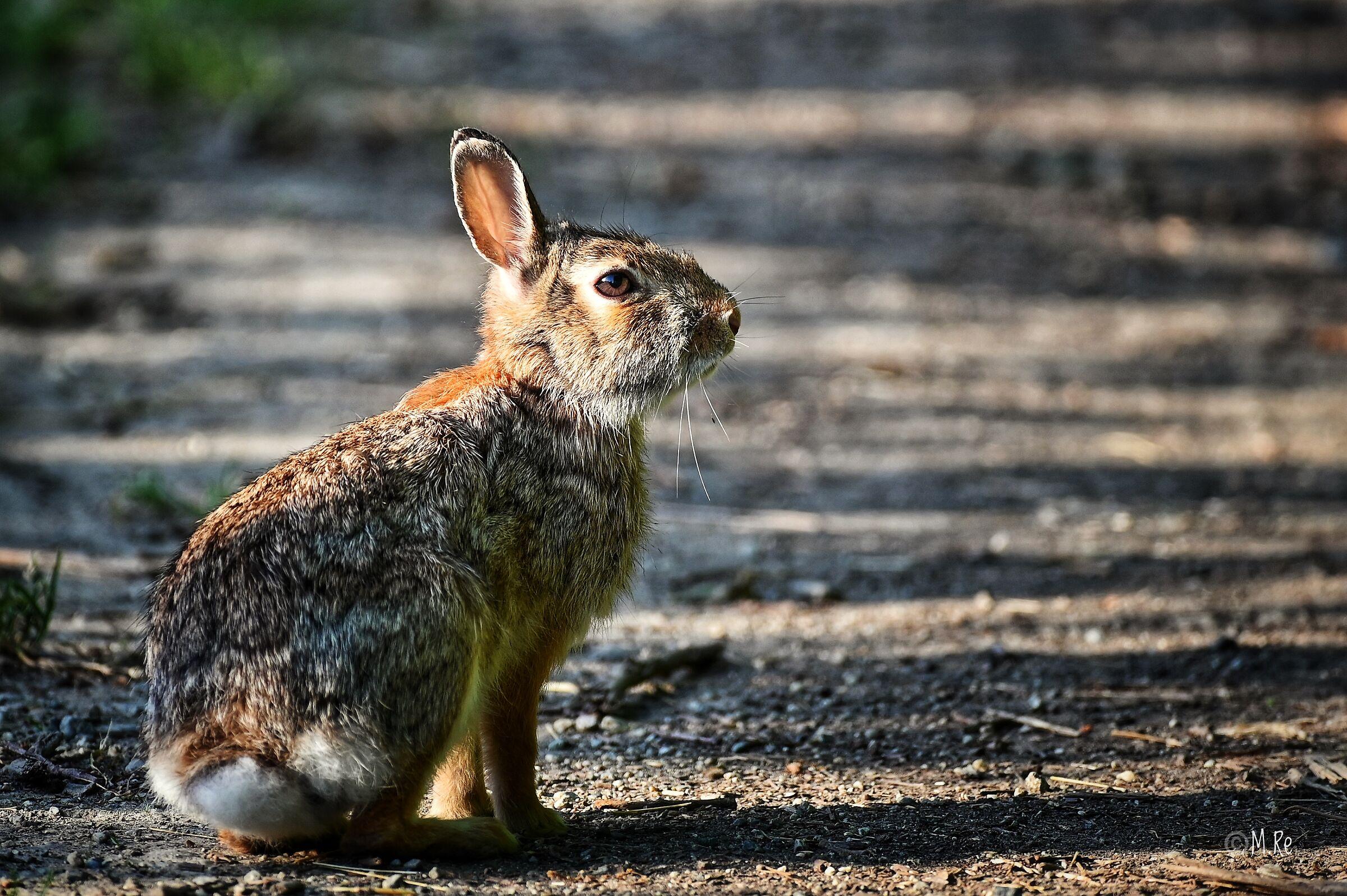 Hare...